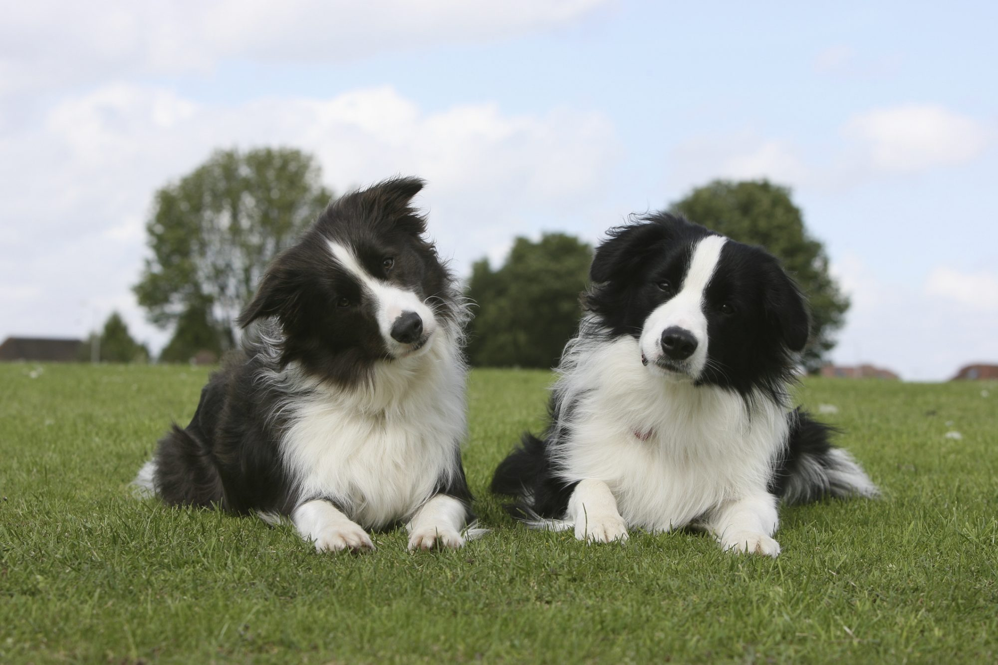 Known has herding dogs, they are hard-working and companions for a lifetime.
