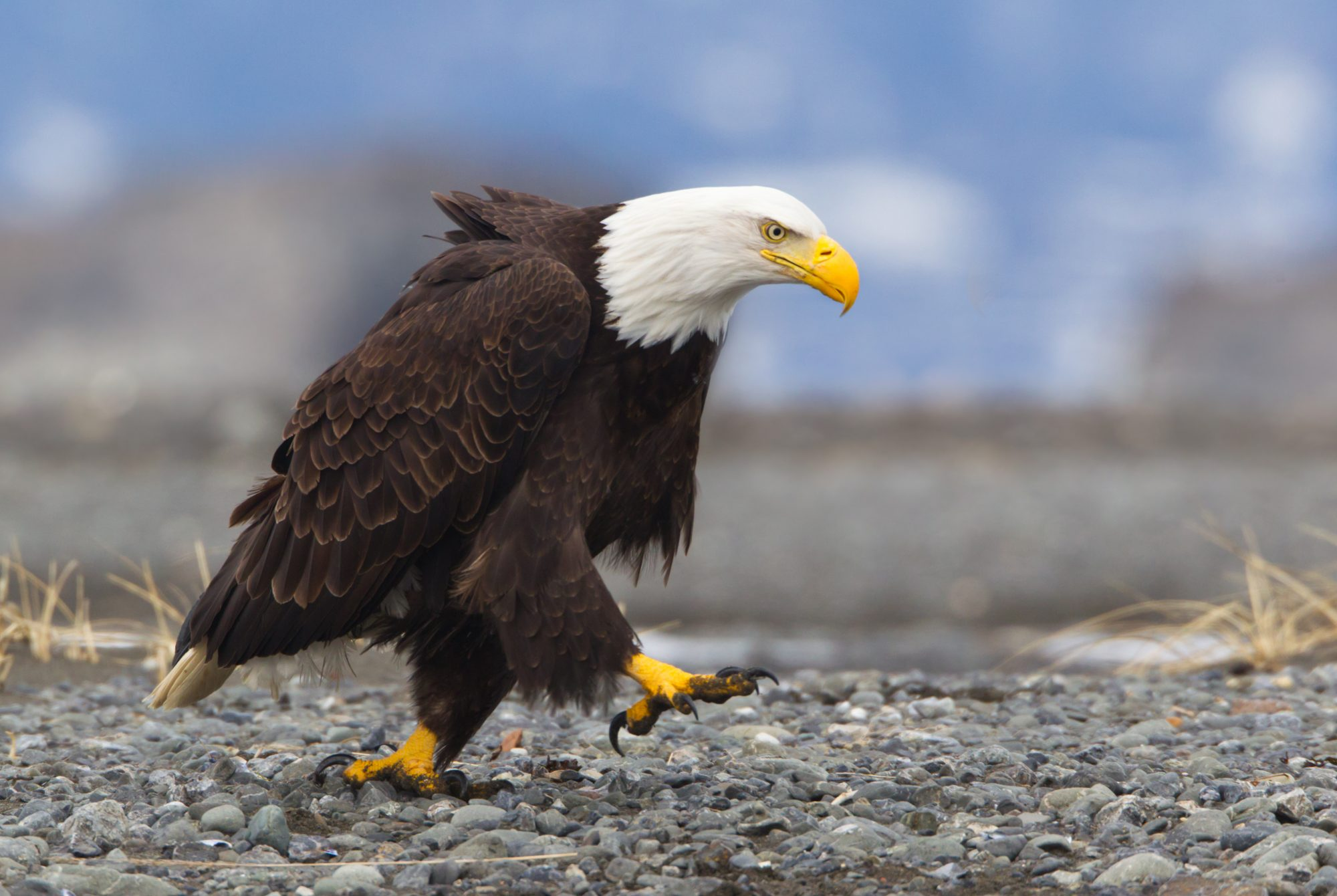 """Tennessee Wildlife Officials Called to Help Bald Eagle Determine It Was Simply """"Too Full to Fly"""""""