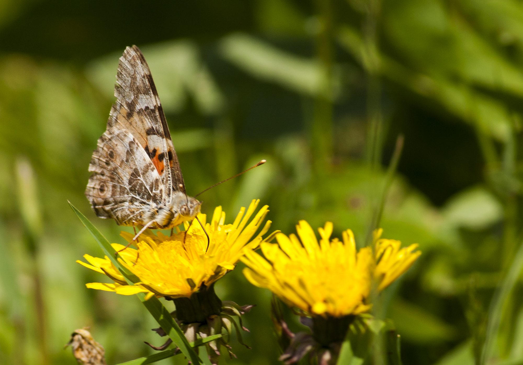 Want to Attract Bees and Butterflies? Keep the Weeds