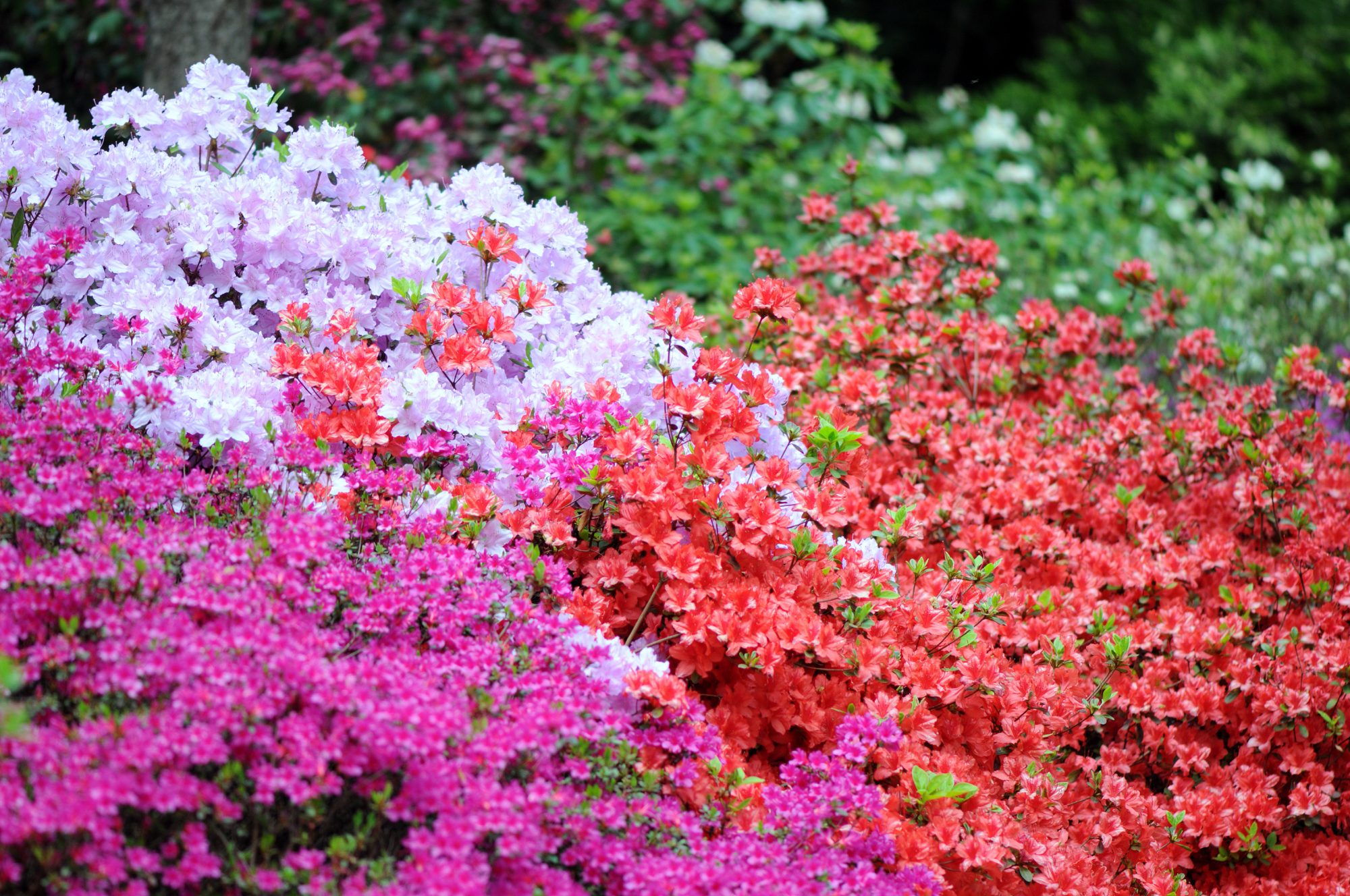 Top Tips To Help Your Established Azaleas Thrive