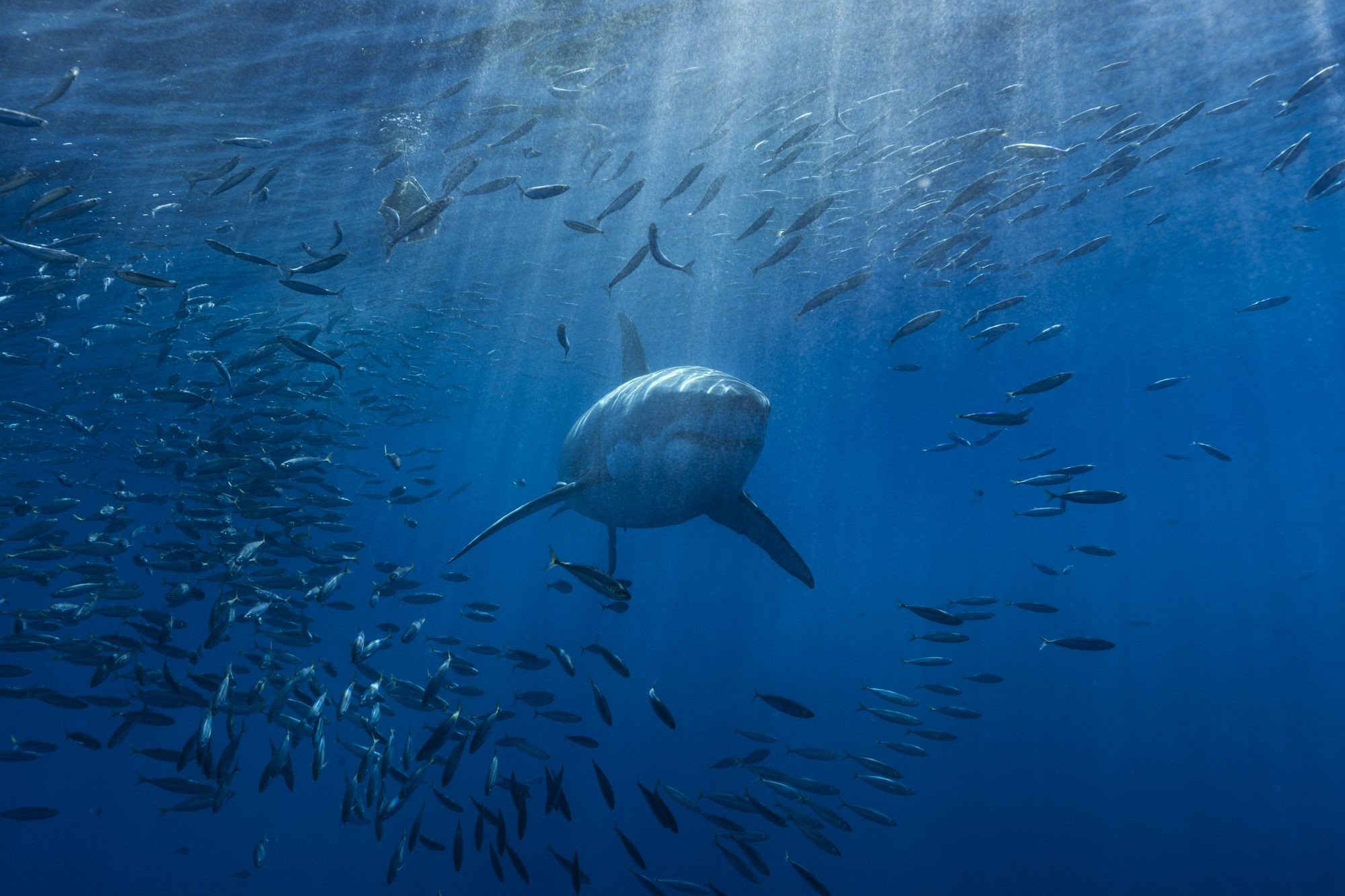 Great white shark with fish