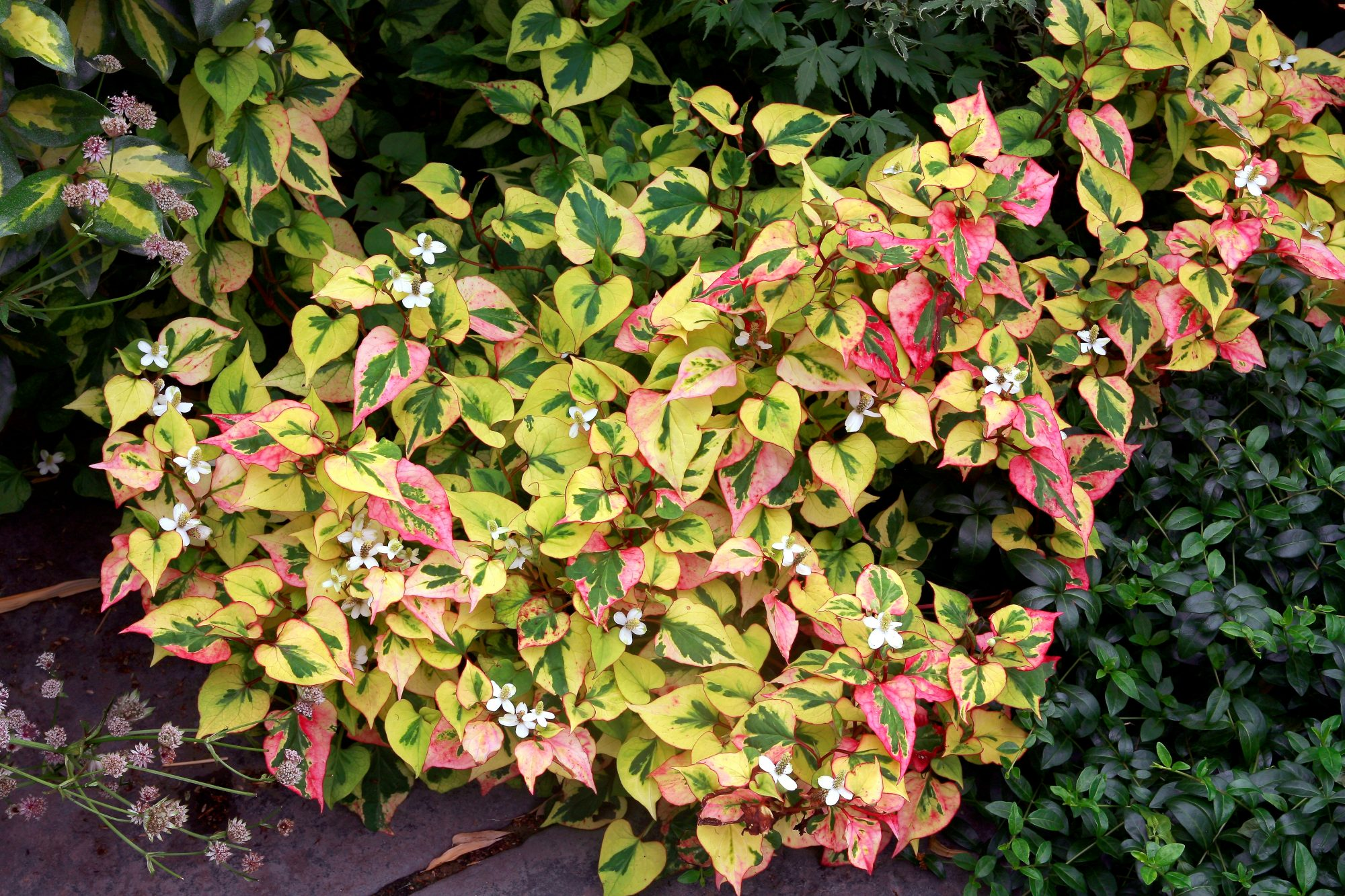 Never Use Chameleon Plant as a Ground Cover Because It Will Take Over Your Yard