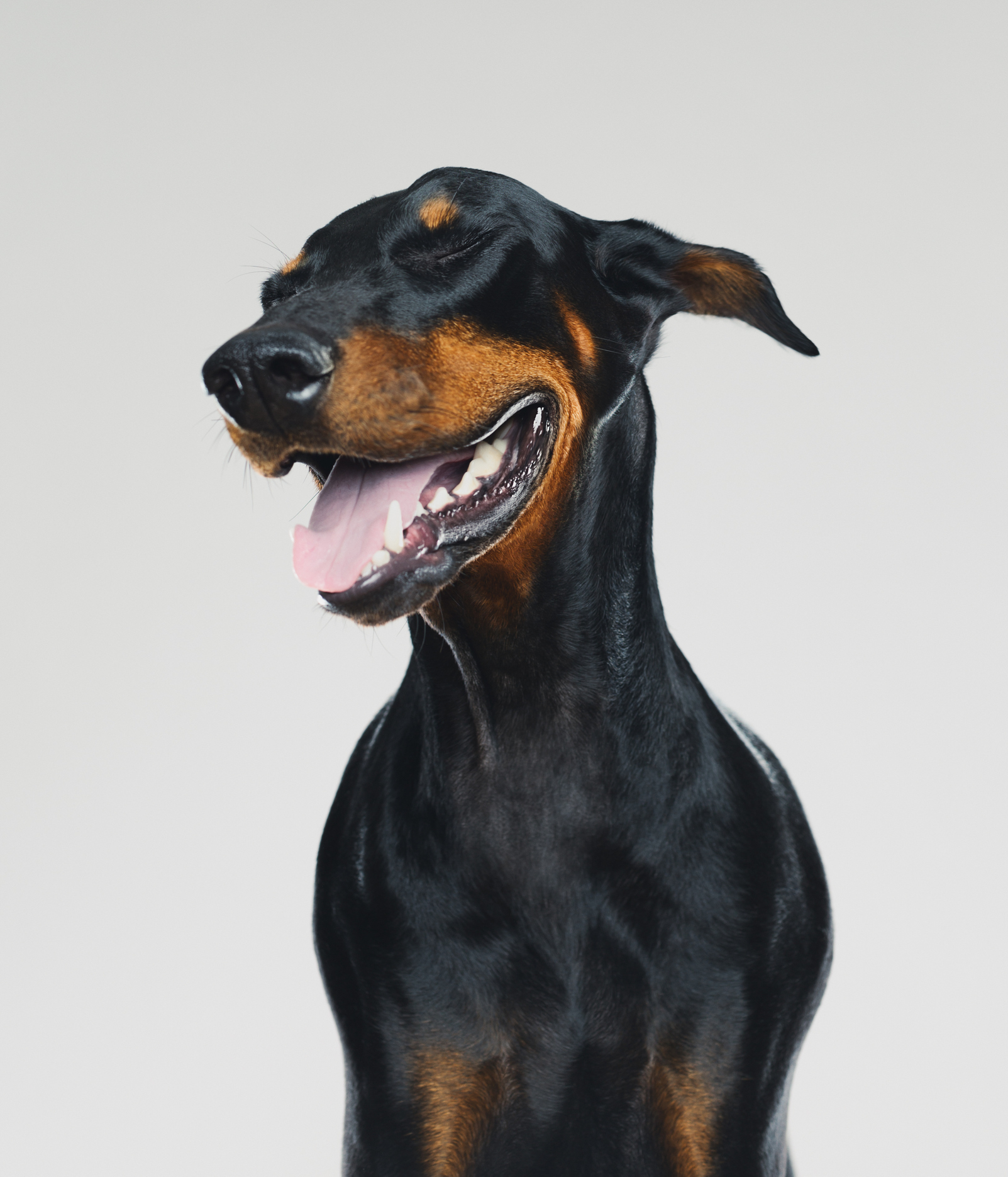 This breed has a loyal following because they are sharp, reliable, and companions for life.