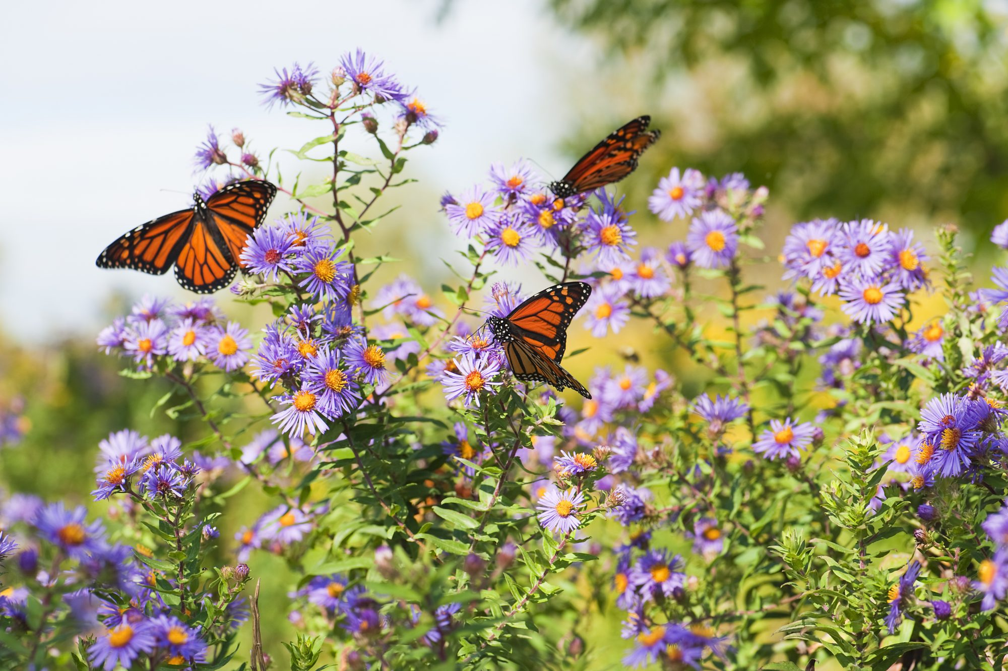 The Monarch Butterfly Is Vanishing—Here's What You Can Do to Support Conservation