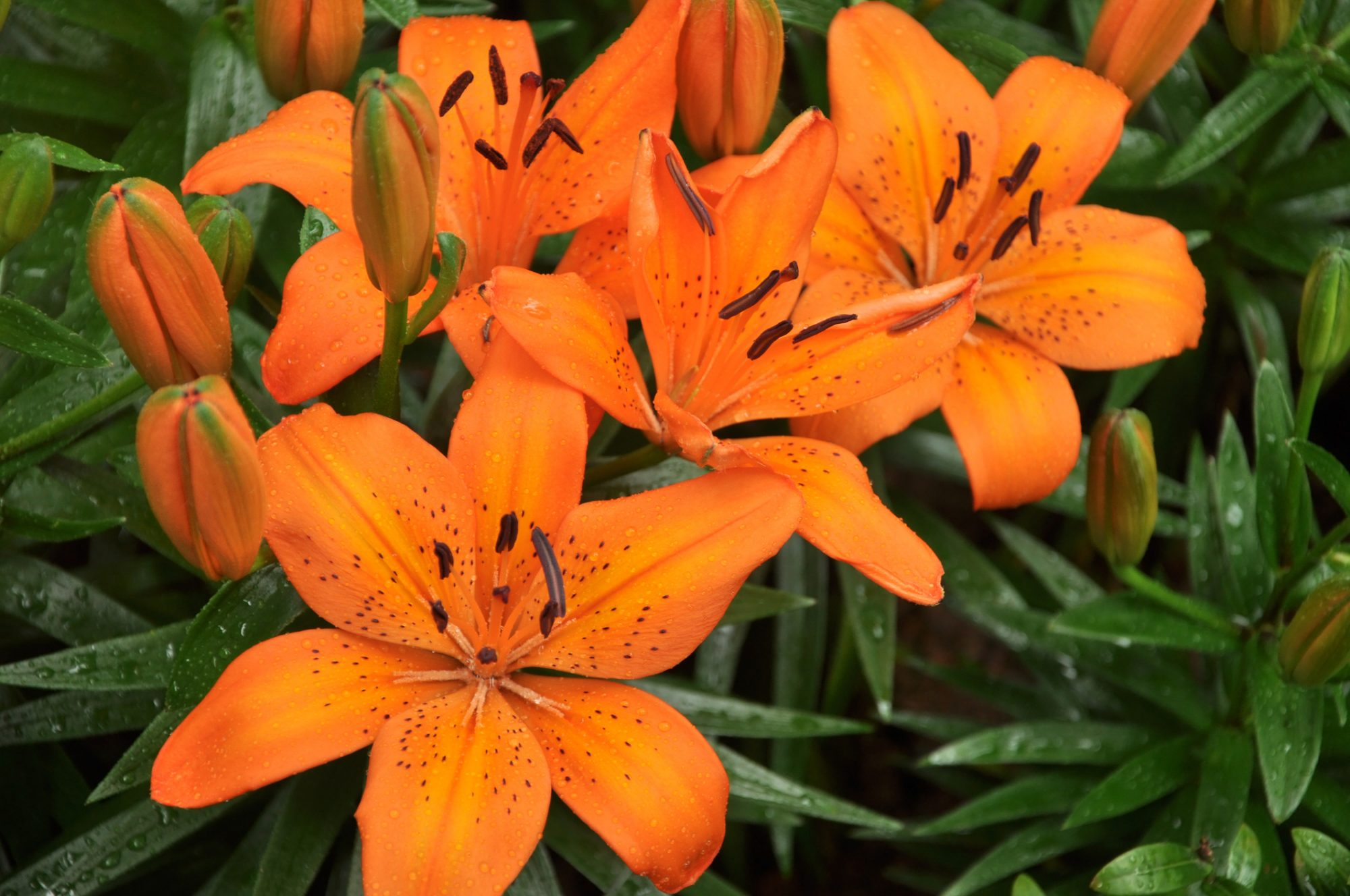 Different Types Of Lilies For Dramatic Color All Season Long