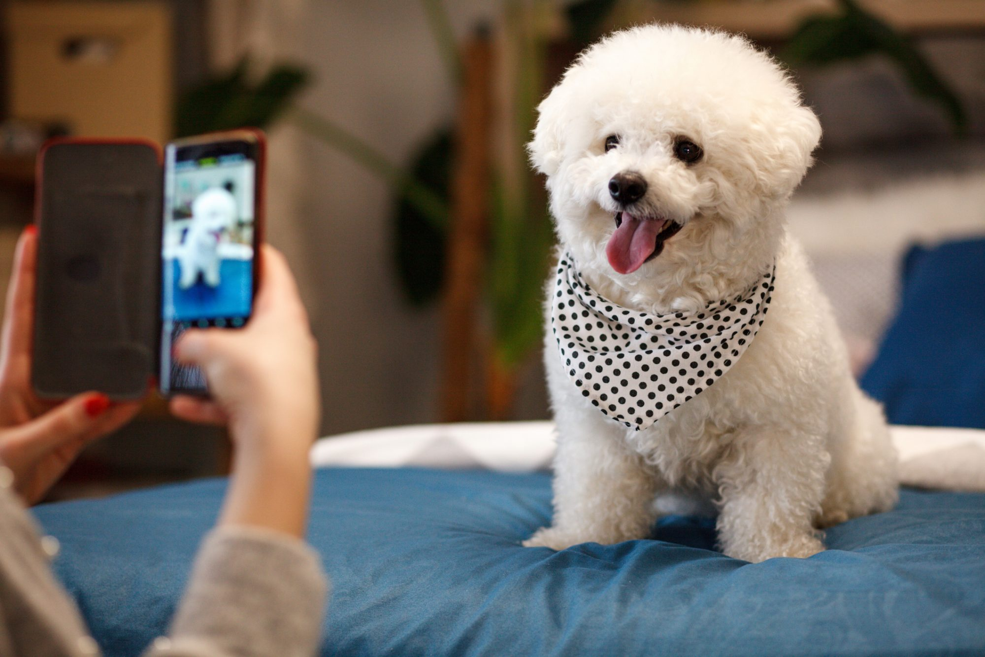 Girl Taking Photo of Bichon Frise