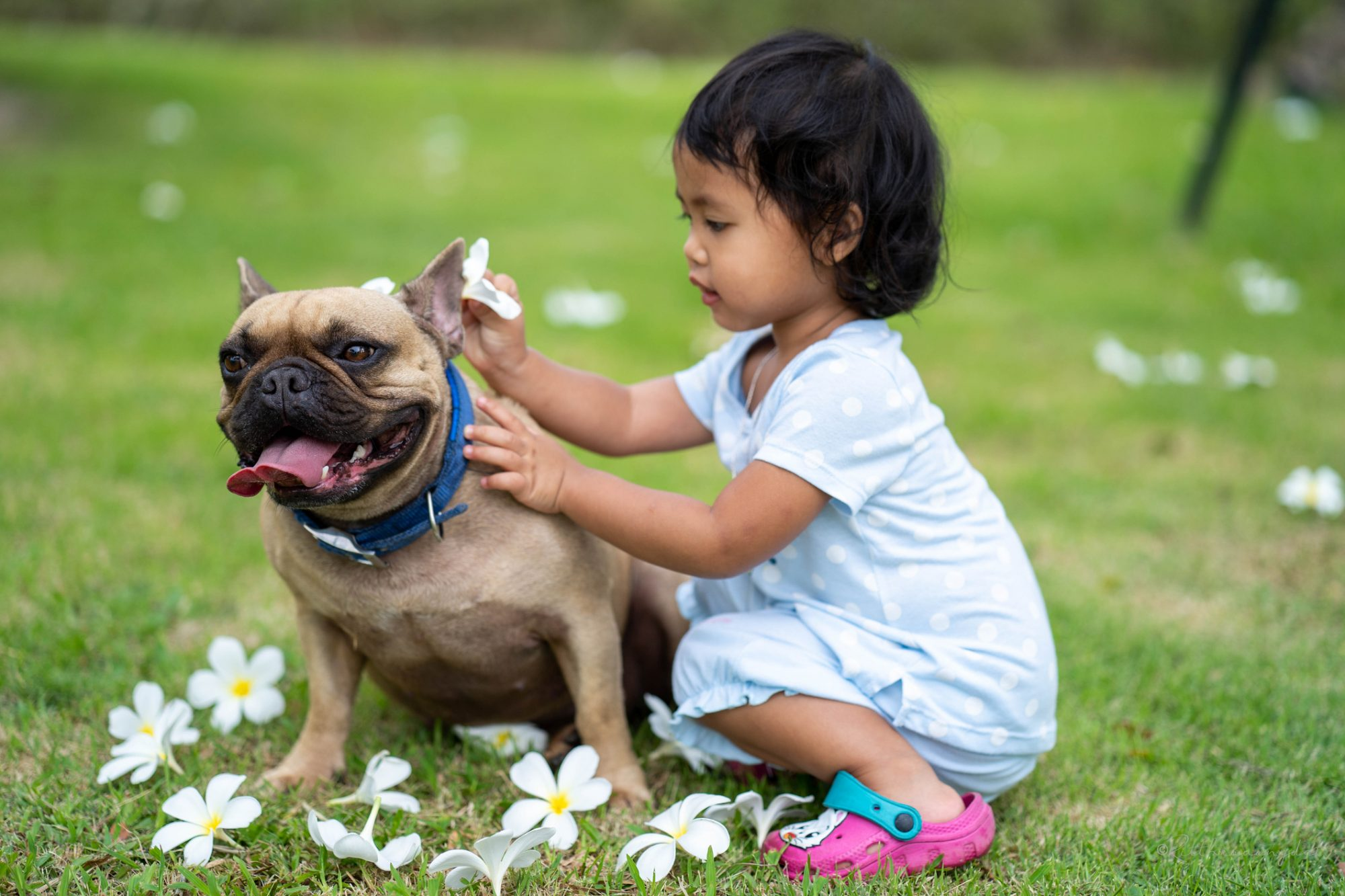French Bulldog and Young Girl Playing with Flowers