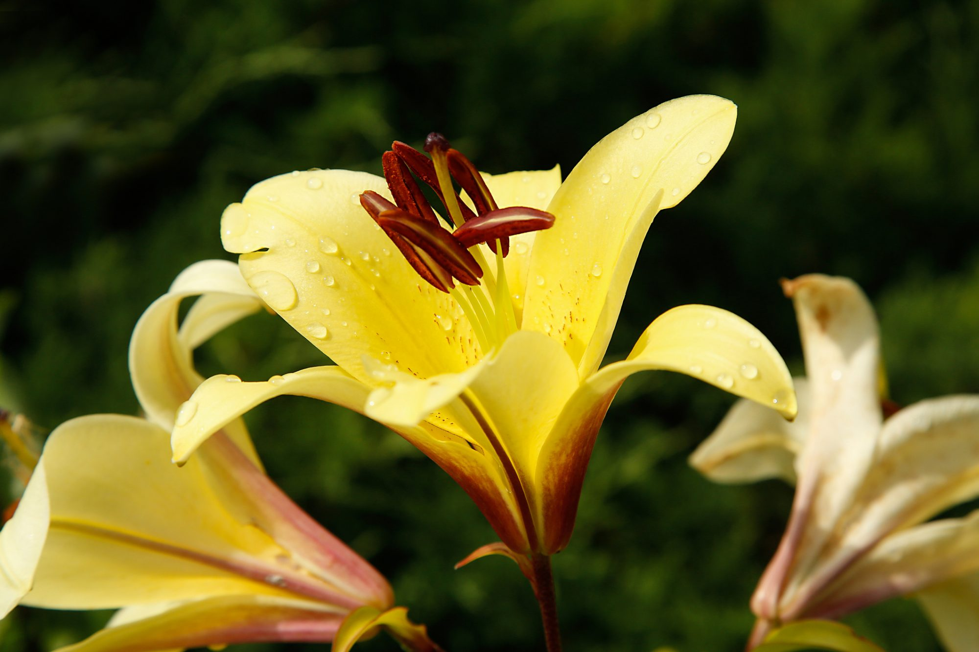 Golden Splendour lily