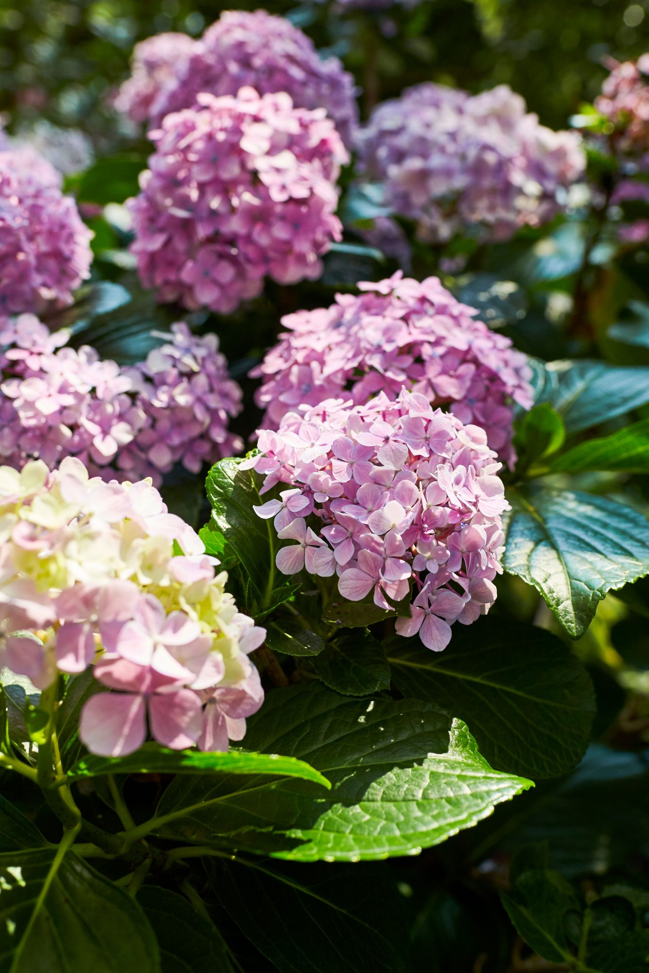 Purple Hydrangea Blooms in Pamela Scurry's Garden