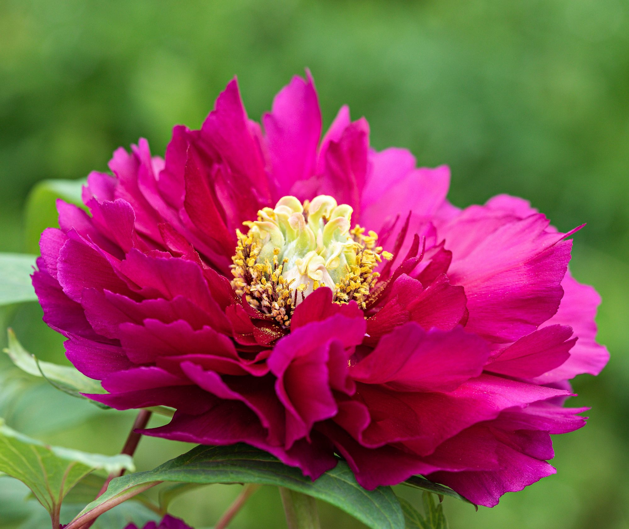 'Rimpo' Peony (Dark Pink with Yellow center)