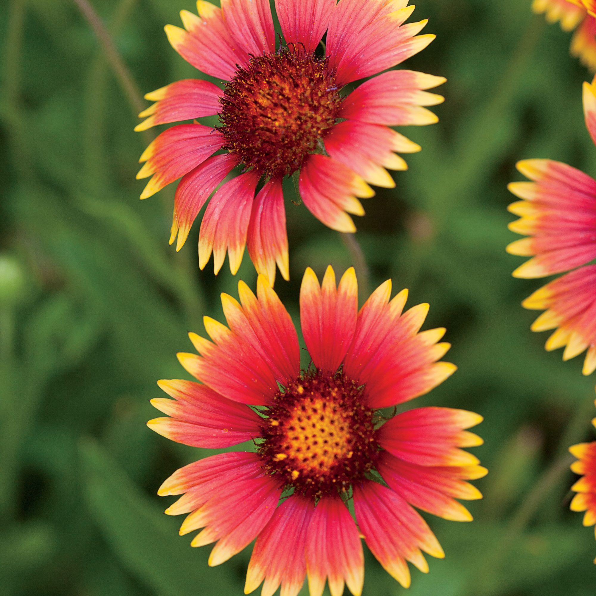 Red and Yellow Blanket Flowers