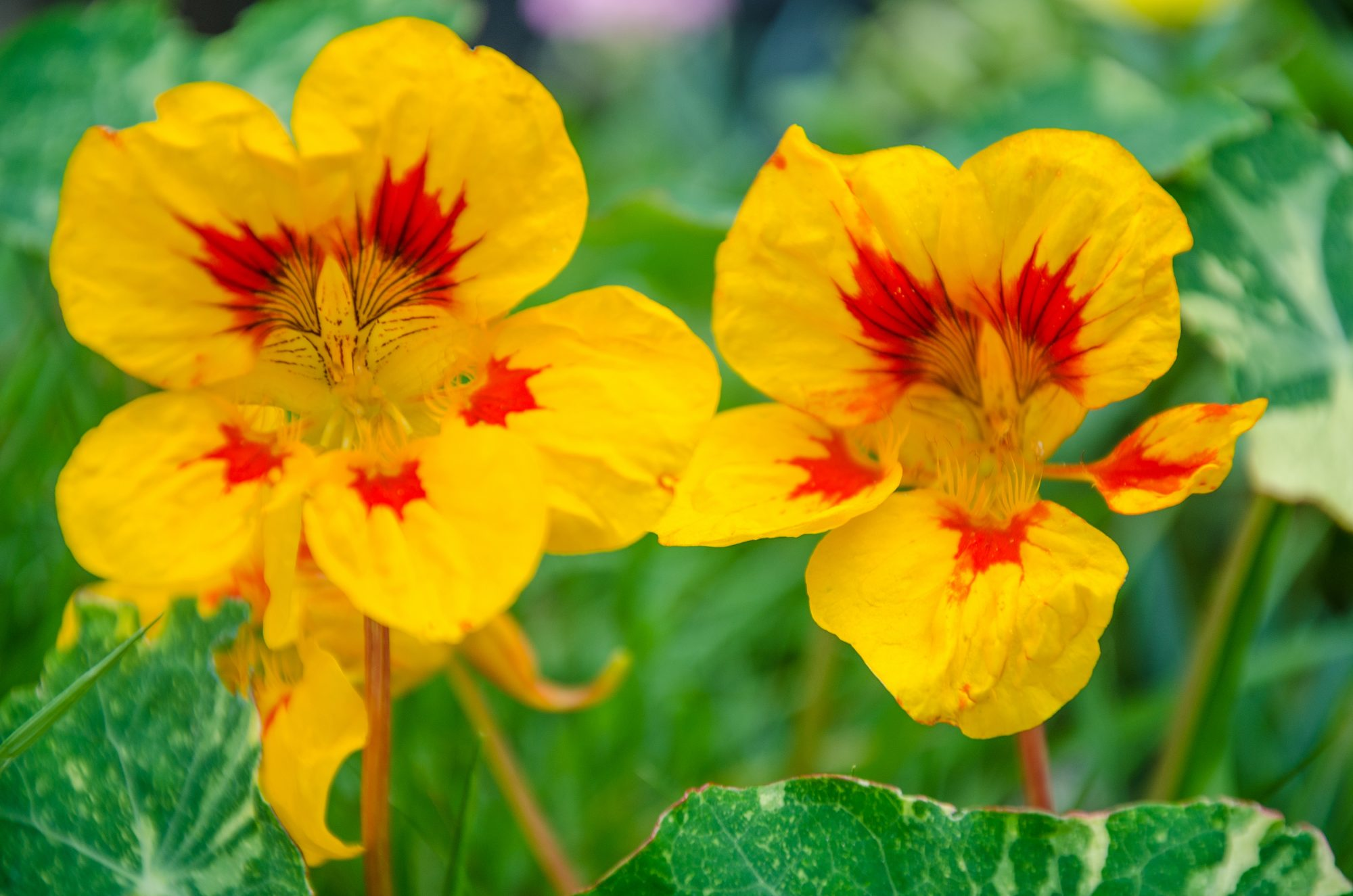 Yellow and Red Nasturtiums