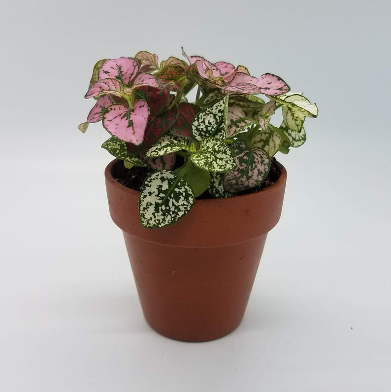 Pink Hypoestes Plant in Terra Cotta Pot