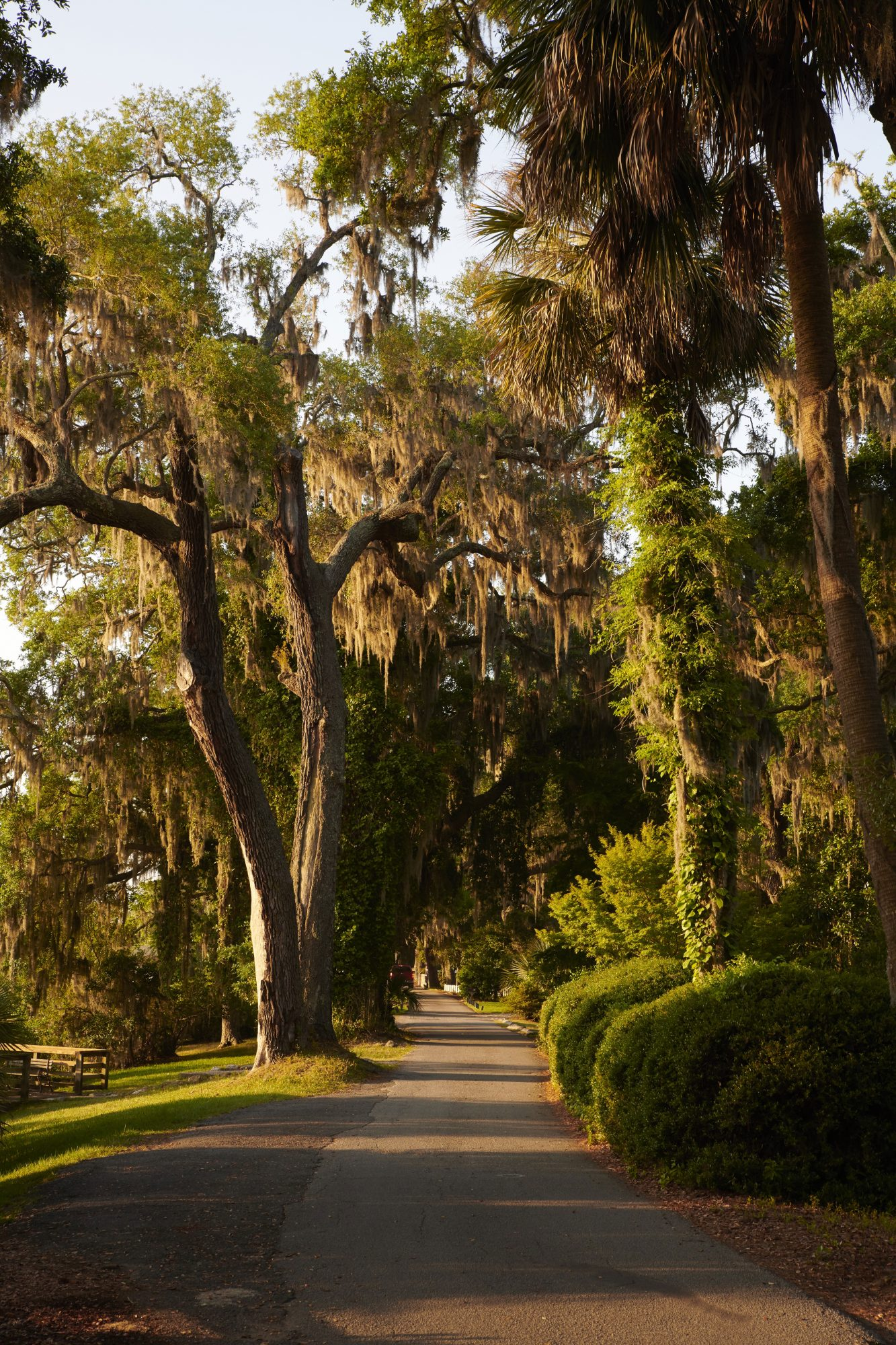 Isle of Hope Trees with Spanish Moss at Sunset