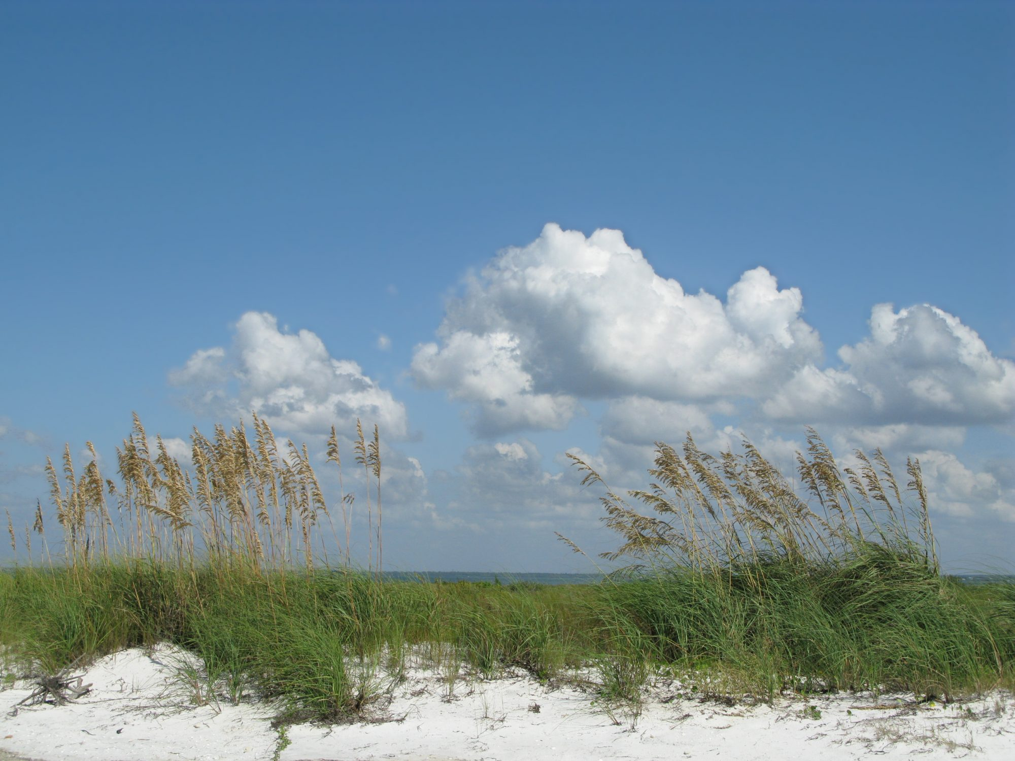 Seaoats in bloom with white sand, blue sky and plenty of copyspace. Beach concept.