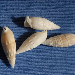 About 20 species of Auger live in North American waters.                             Look for whorled, narrow, and elongated shells with smooth or ribbed grooves on their exterior surface.                             Auger shells range anywhere from one inch to 8 7/8 inches high.                             The plate that seals the mouth of the shell is pointed at one end and rounded at the other.