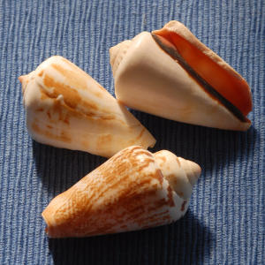 Nearly all of the 600 species of Cones around the world have a similar distinct design: a conical shape, flat top, and a slit-like lip running along its length.                             This shell's body can be smooth or angled with rounded or pointed knobs.                             Cones can range in height from one inch to 8 inches high.