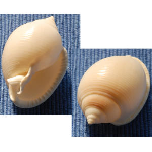Eleven species of this mollusk are known to live in North American waters.                             Look for whorled shells with a short spire and a thick outer lip that can be either toothed or smooth.