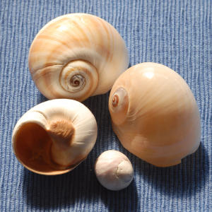 These snail-like shells are common beachcombing finds on North American coasts.                             Moon shells vary in length from one inch to 5 inches.                             They're usually round, smooth and broad with short spires.