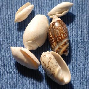Twenty-five species of Olive shells are found in North America.                             Look for various patterns and fine wrinkles, with a smooth and shiny exterior.                             Most are whorled and cylindrically elongated with a small spire.                             Olive shells may vary from 1 inch to 5 inches in length.