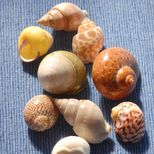 Tiny Periwinkles range from 1/8 inch to 1 inches high.                             The solidly built shells are smooth, sometimes sculpted, and round to oval in shape.                             Of the 23 species known in North American waters, almost all live in intertidal regions.