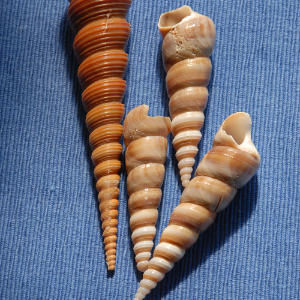 There are 17 species of turret or screw shells inhabiting North American waters.                             These large shells are sized between one inch to 5 inches.                             Look for convex whorls and spiral coils, with a circular aperture.