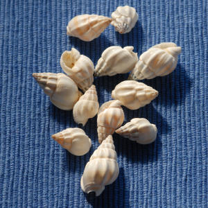 Look for a rounded aperture on these shells, which range in height from one inch to 4 5/8 inches.                             They are slender, variably sculptured, have convex whorls, and are almost always white in color.                             Some 95 species inhabit North American coasts.