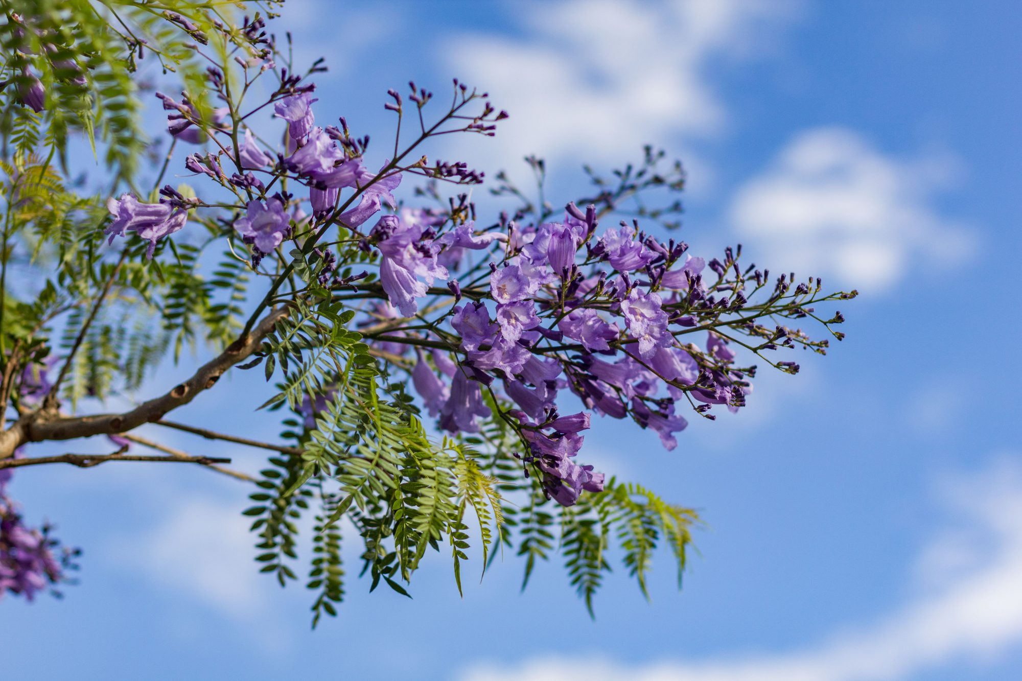 Jacaranda Blooms Are Warm Weather Signs Of Spring Southern Living