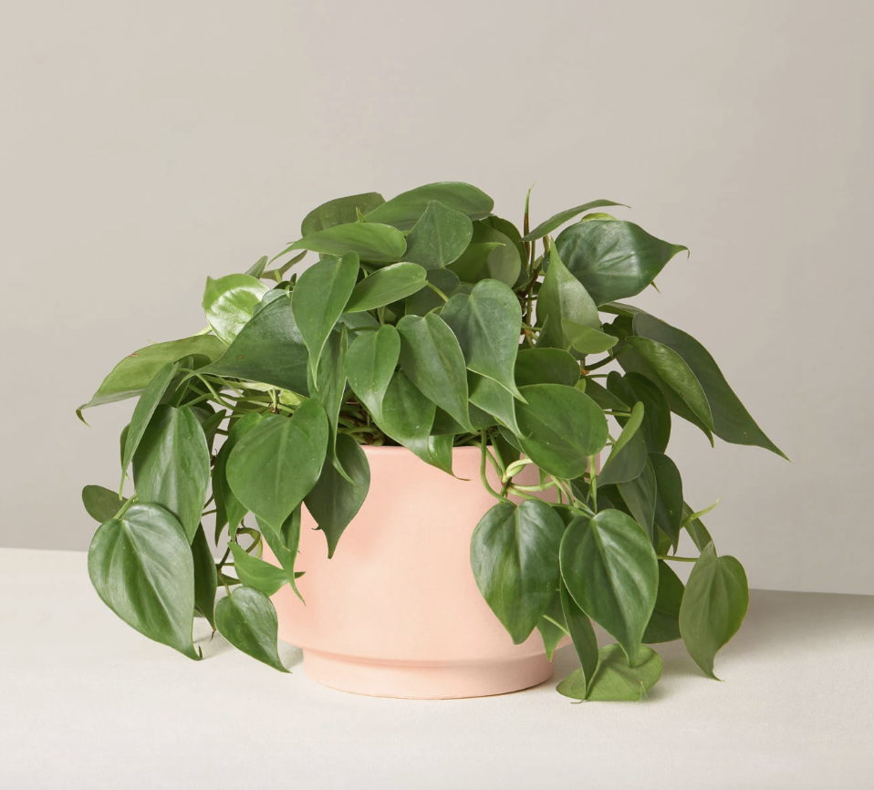 https://www.thesill.com/products/philodendron-green