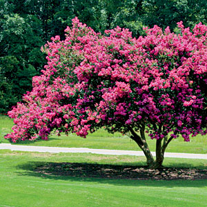Plant: Crape myrtleIt loses fewer branches than most trees in high winds and rain, and grows best on the Gulf and southern Atlantic coasts, and from Maryland to Florida.                                       Reconsider: Sand pineAptly named for its natural growth in sandy soil, this often tall tree has a shallow root system, making it a vulnerable and potentially damaging wind target.
