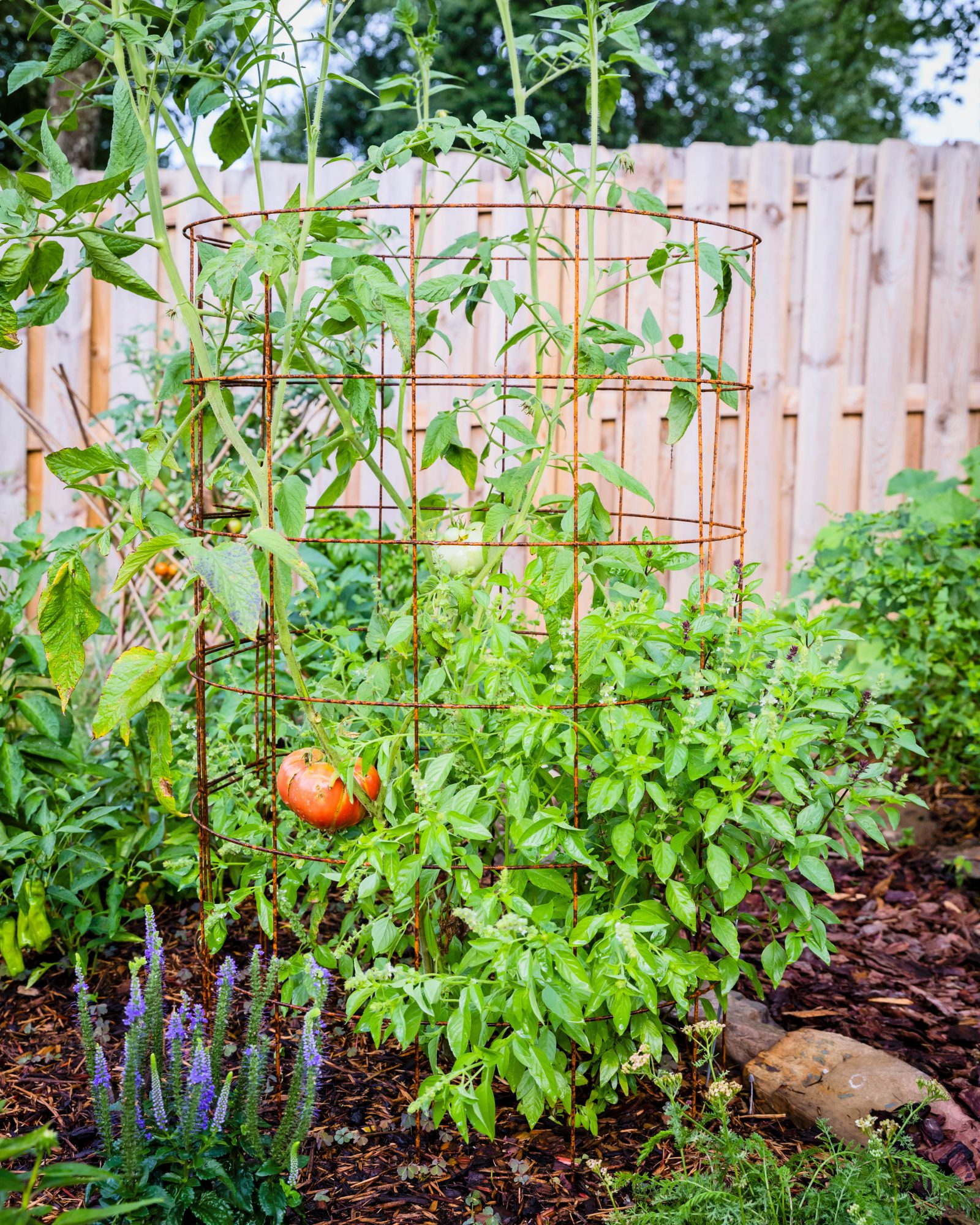Tomato Trellises in Vegetable Garden