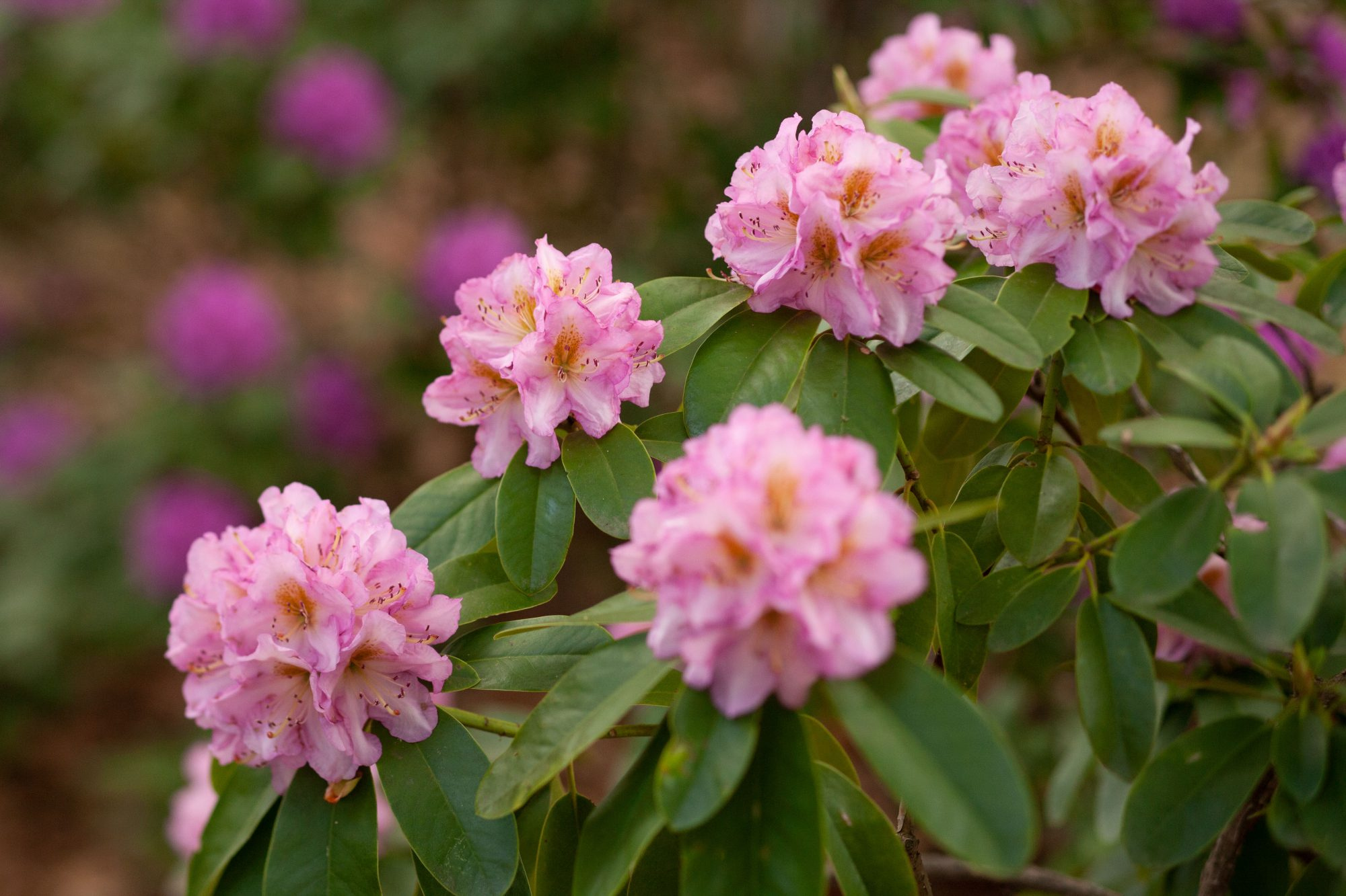 Light Pink Rhododendron Shrub