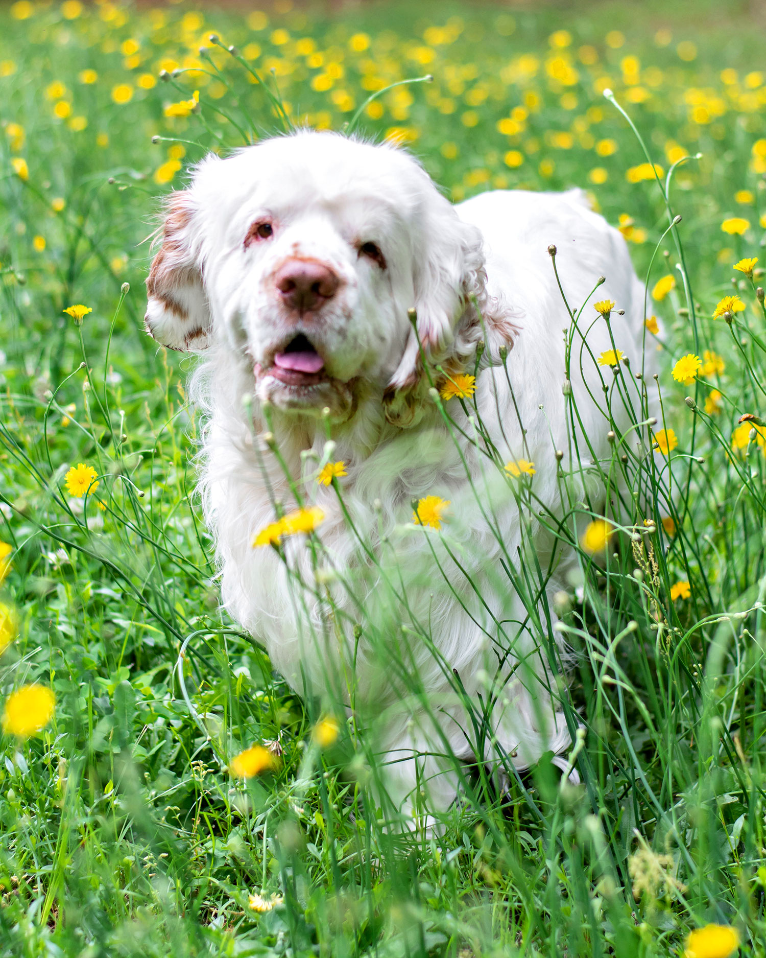 Clarence Clumber Spaniel Pets to the Rescue