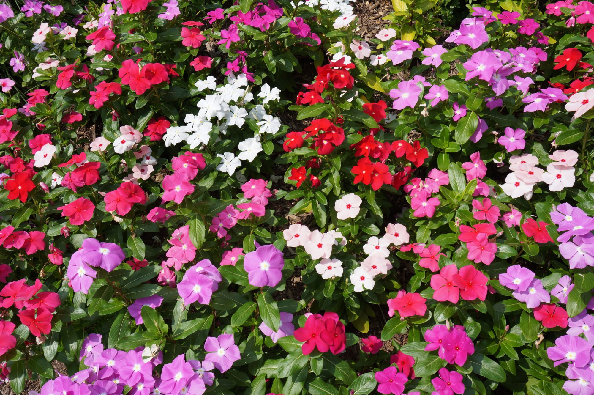 Variety of Impatiens Colors