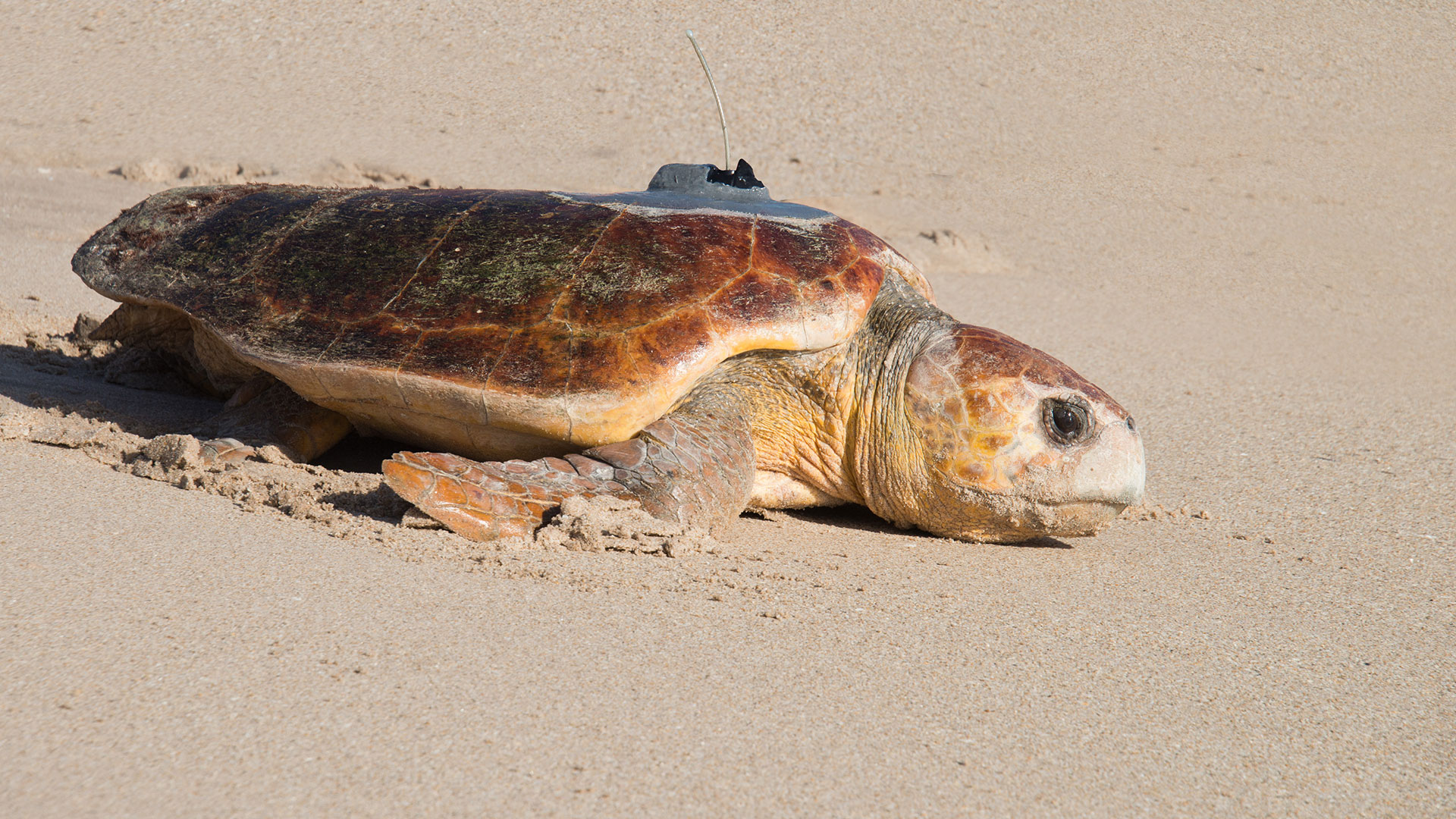 Sea Turtle with Transmitter