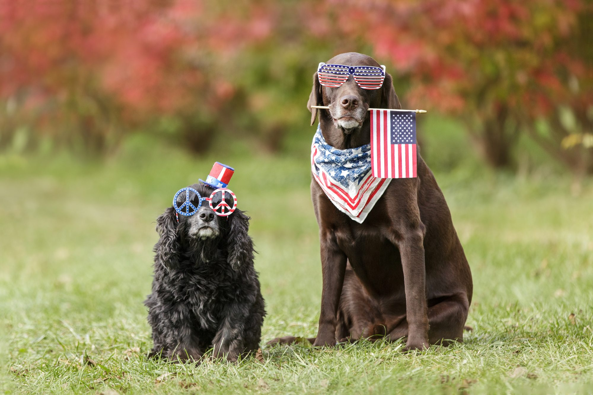 Fourth of July Dogs