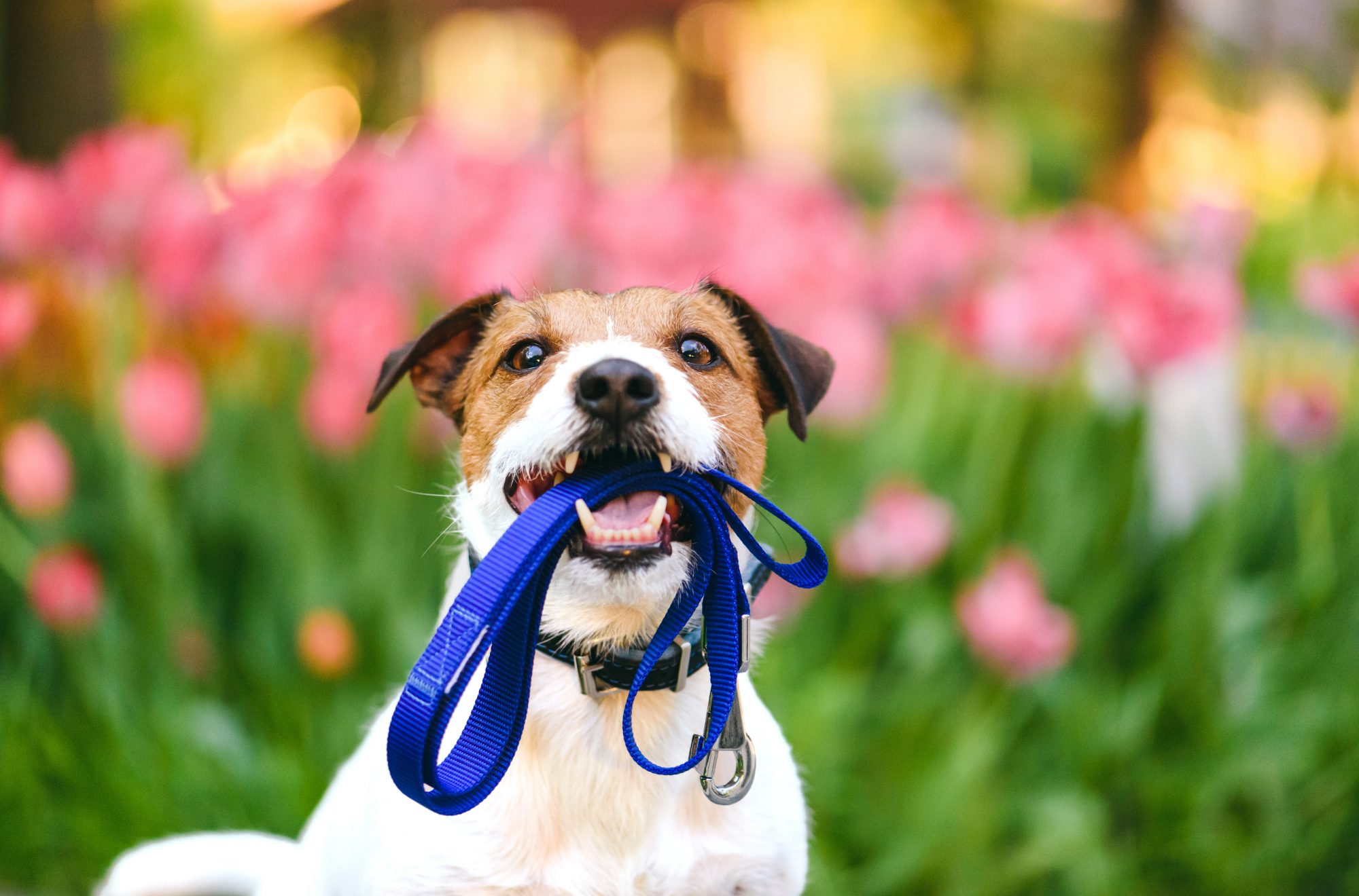 Terrier Dog with Leash in Mouth