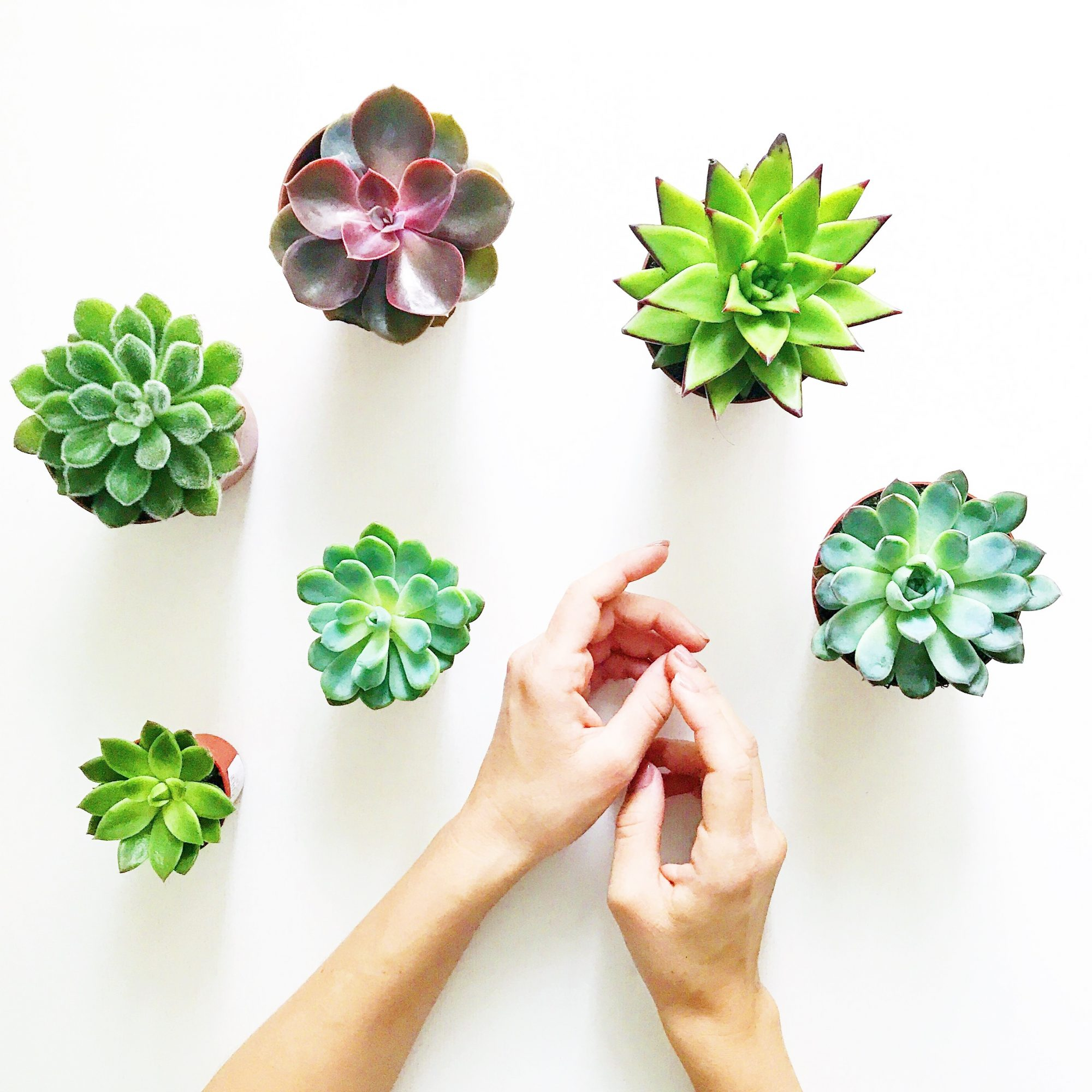 Cropped Hands Of Woman With Potted Succulent Plants Against White Background