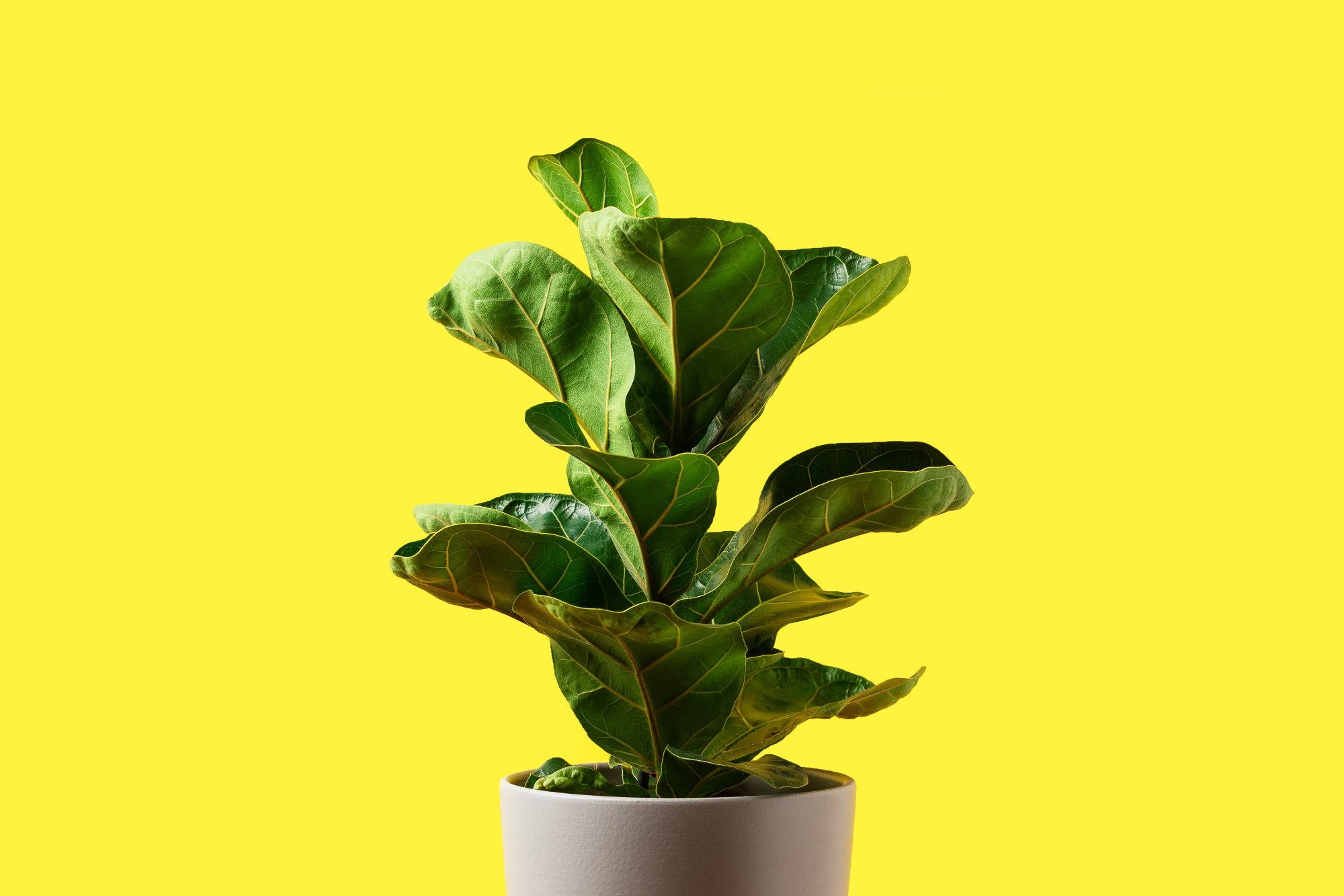 A Fiddle Leaf Fig or Ficus lyrata with large, green, shiny leaves planted isolated on yellow background. Home gardening. Banner with copy space