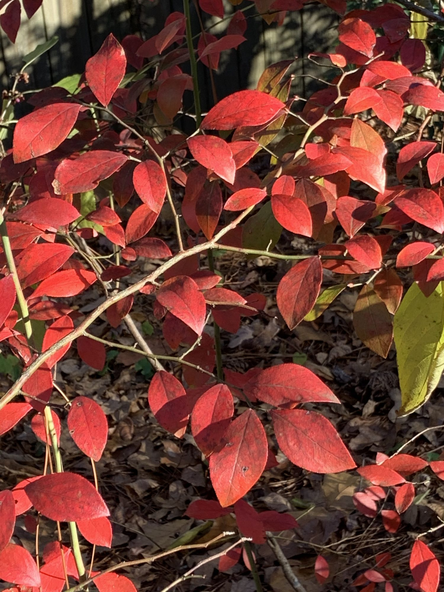 Blueberry Plant in Fall