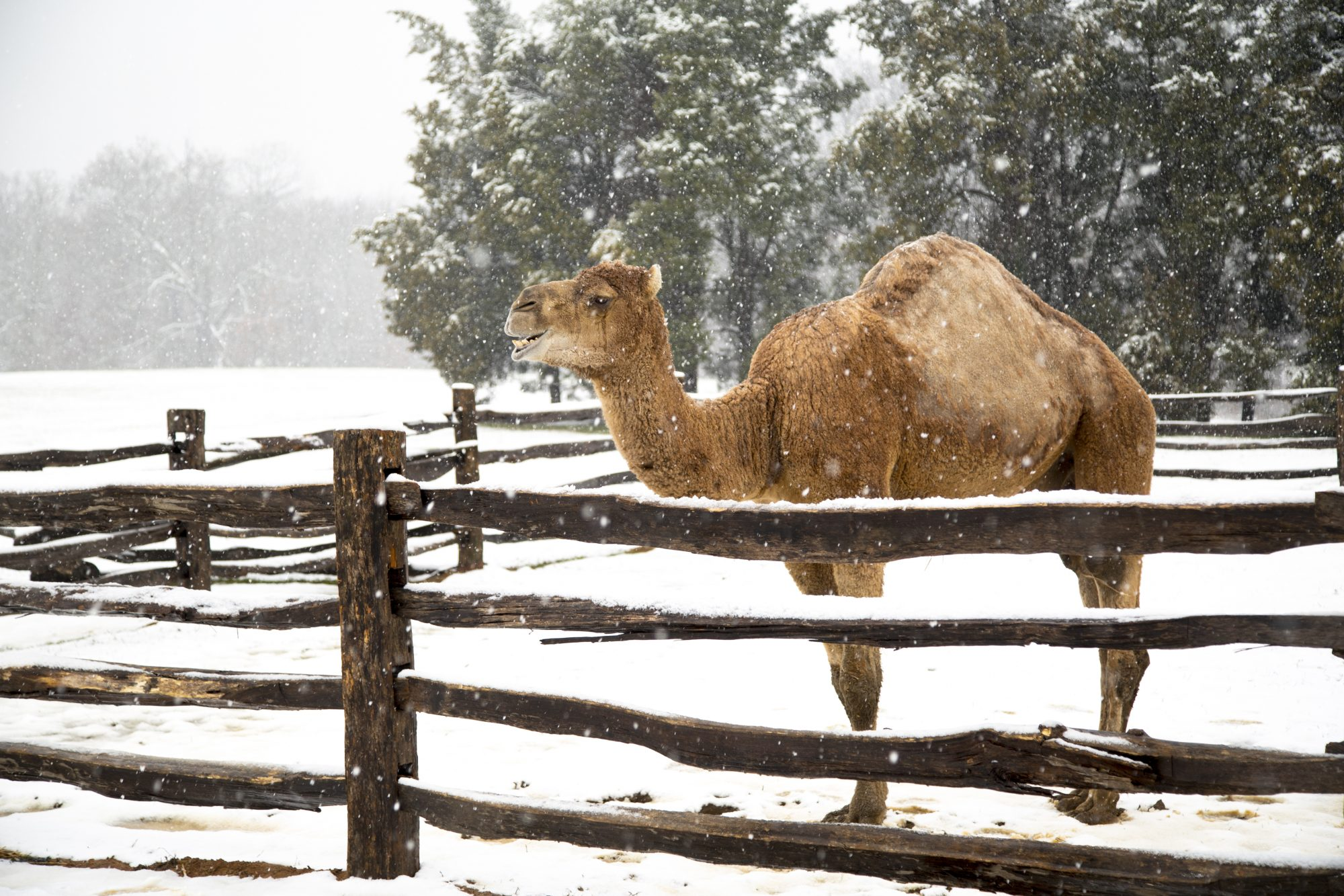 Aladdin the Mount Vernon Camel Enjoying the Snow