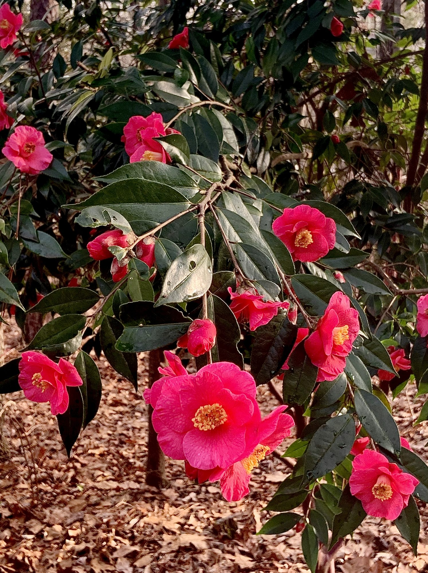 Camellia shrub in bloom