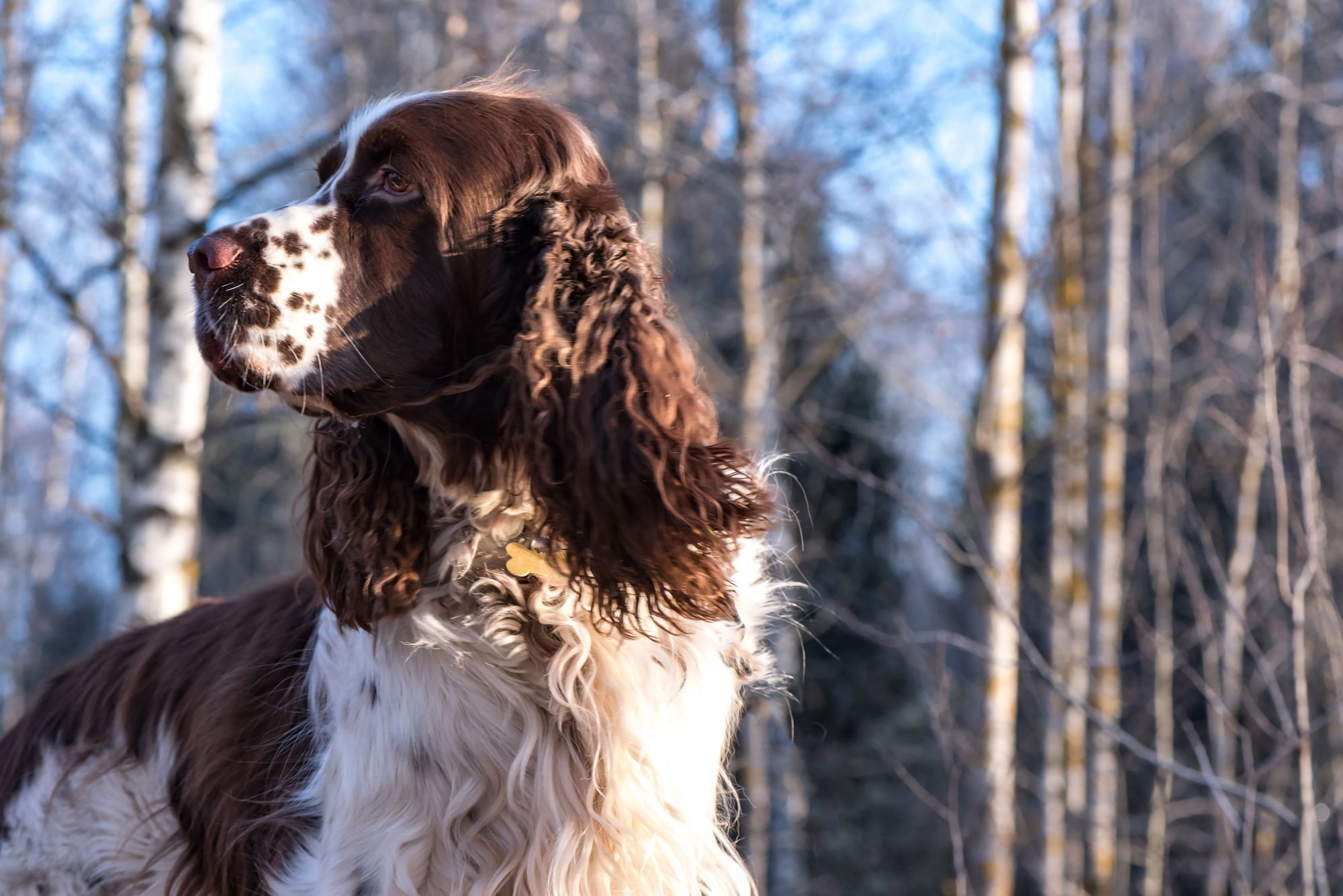 English Springer Spaniel with Hair Blowing in Breeze