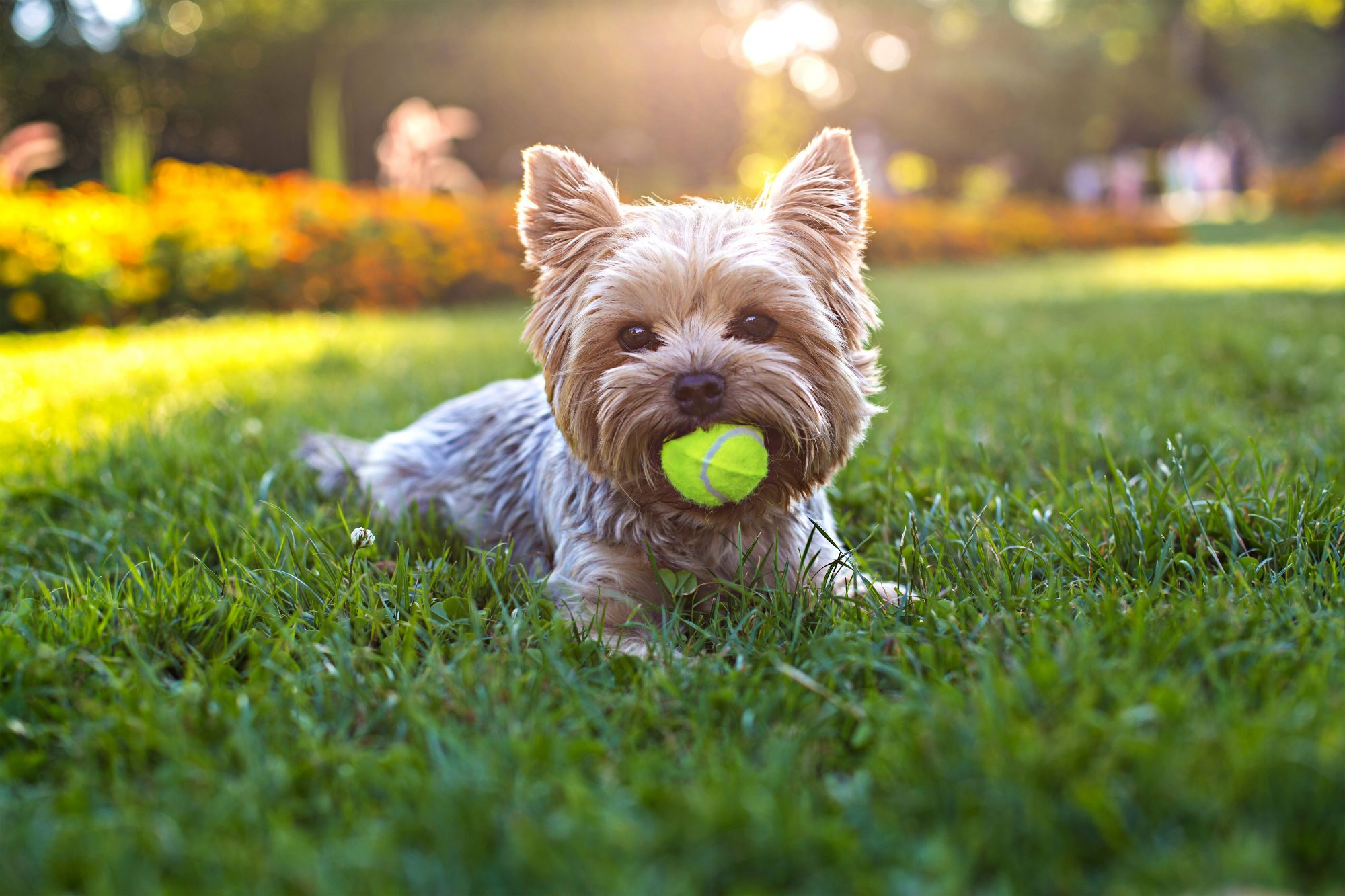 Yorkshire Terrier Laying in Grass with Tennis Ball in Mouth