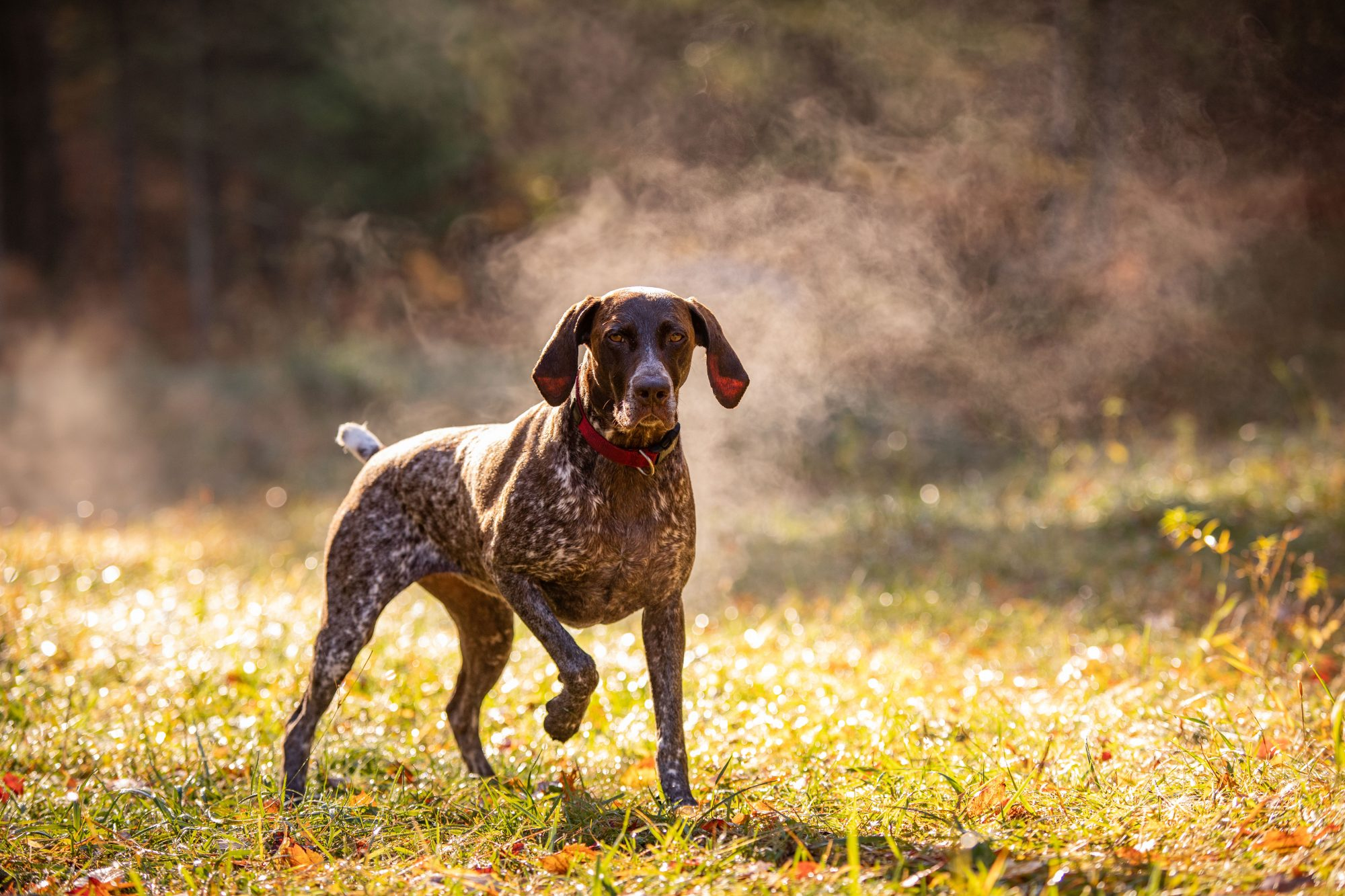 Pointing German Shorthaired Pointer in Field