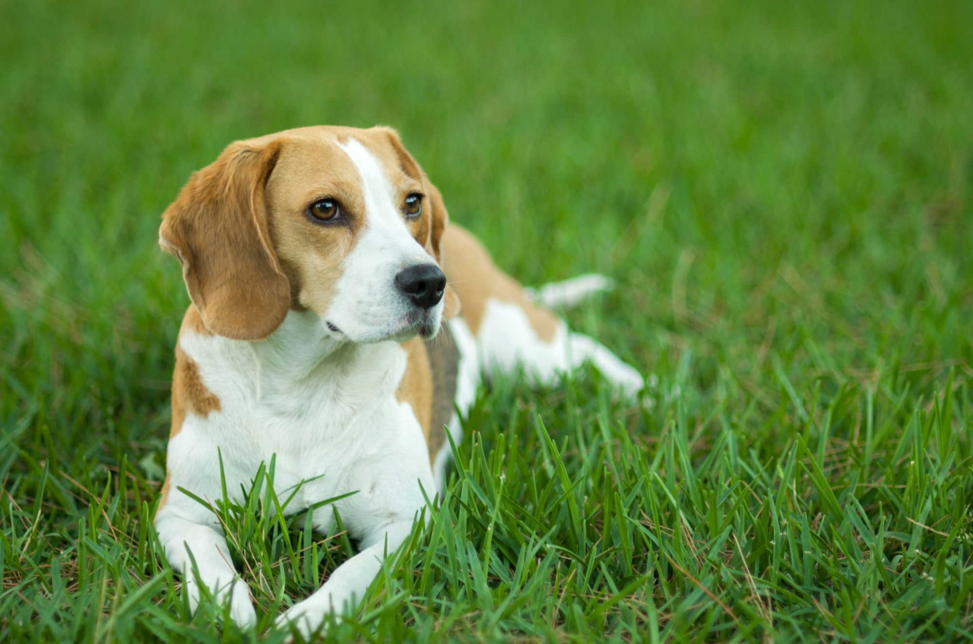 Beagle Laying in Grass