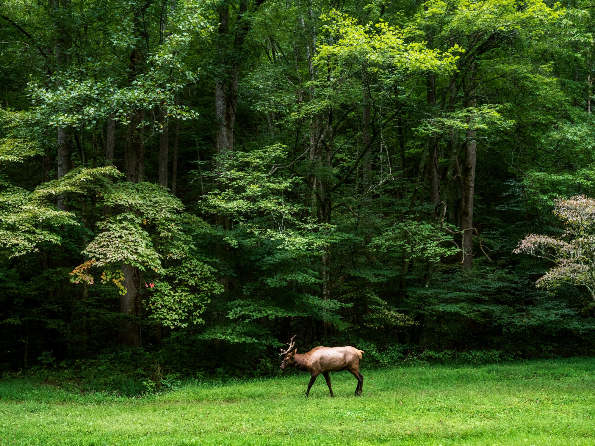 Elk grazing in field in Great Smoky Mountains National Park