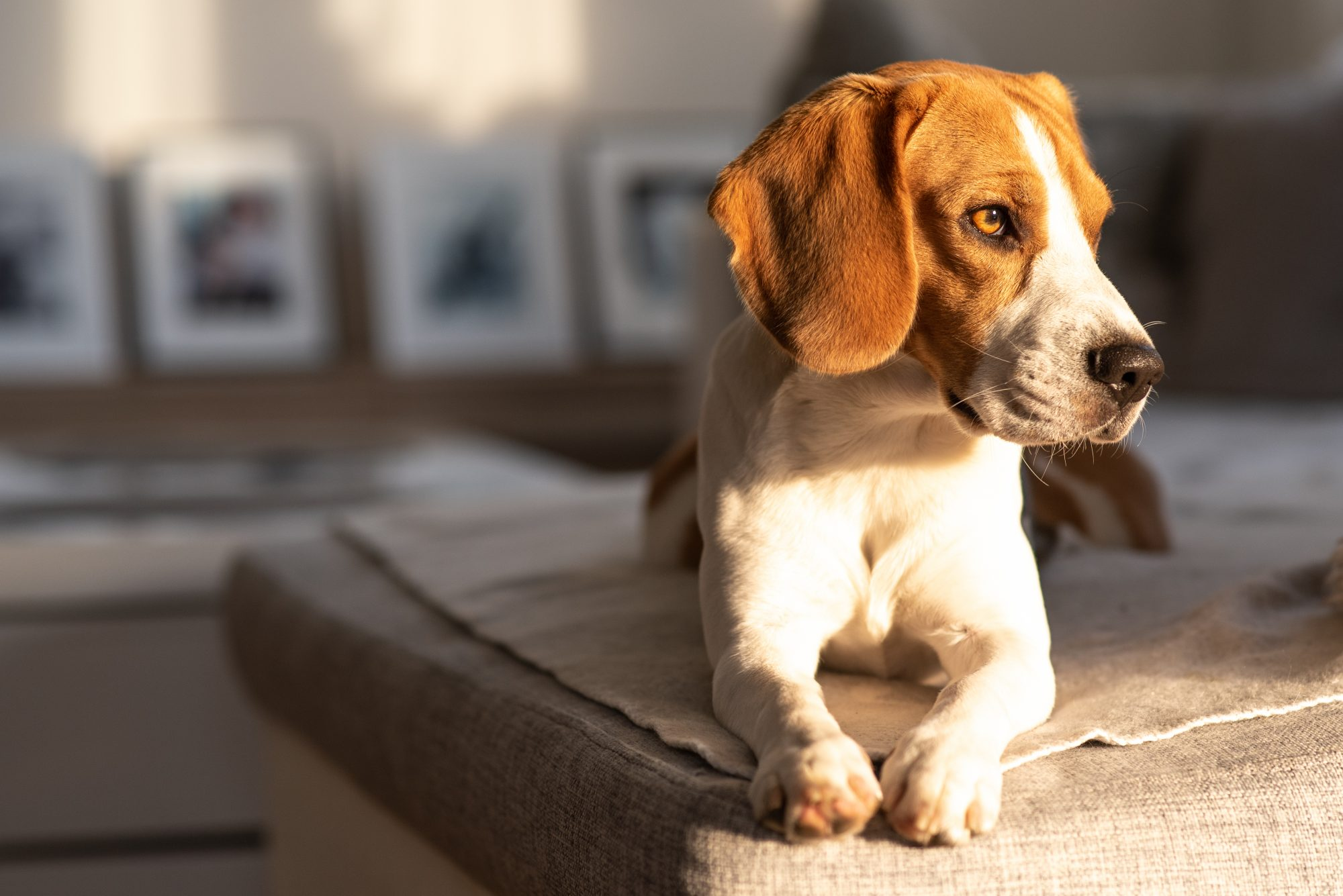 Close-Up Of Dog Looking Away While Lying On Sofa At Home