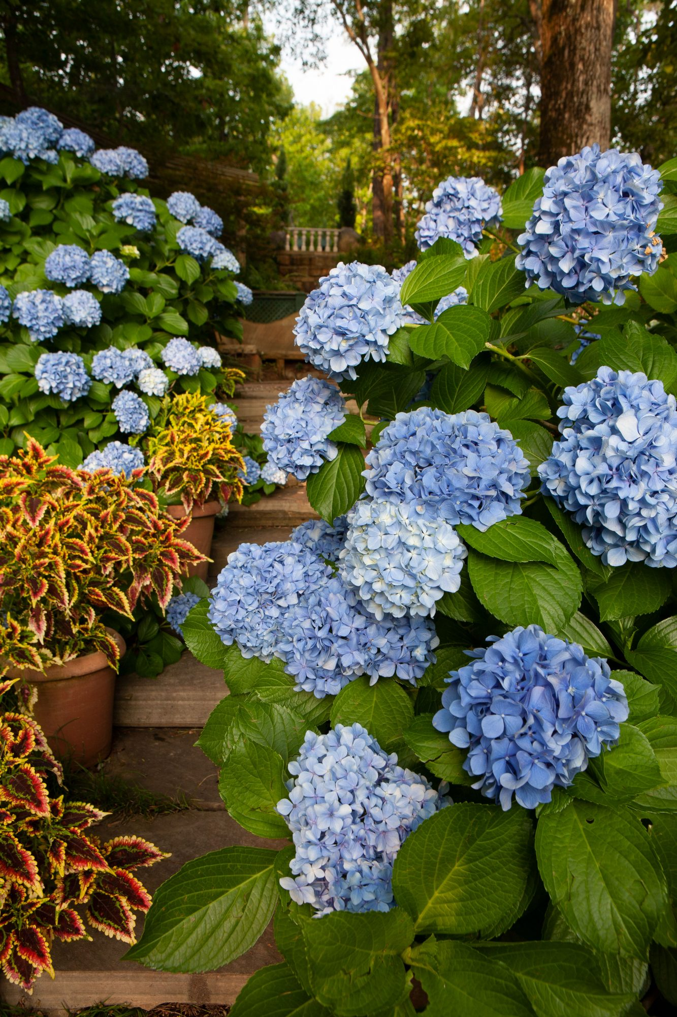 Blue blooming hydrangea bushes along stone stairs with coleus in planters