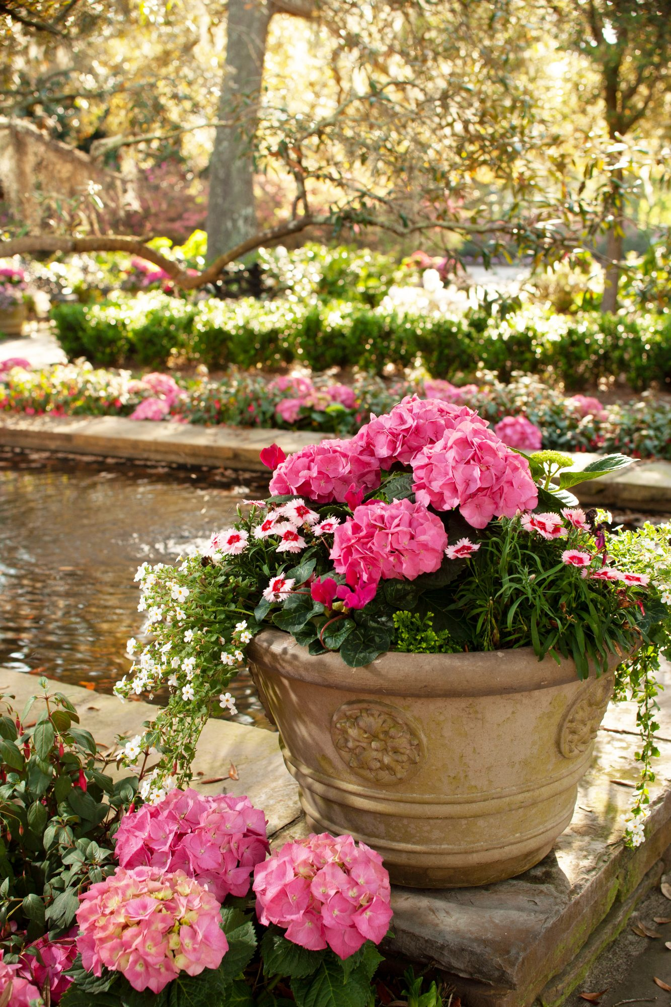 Pink potted hydrangeas